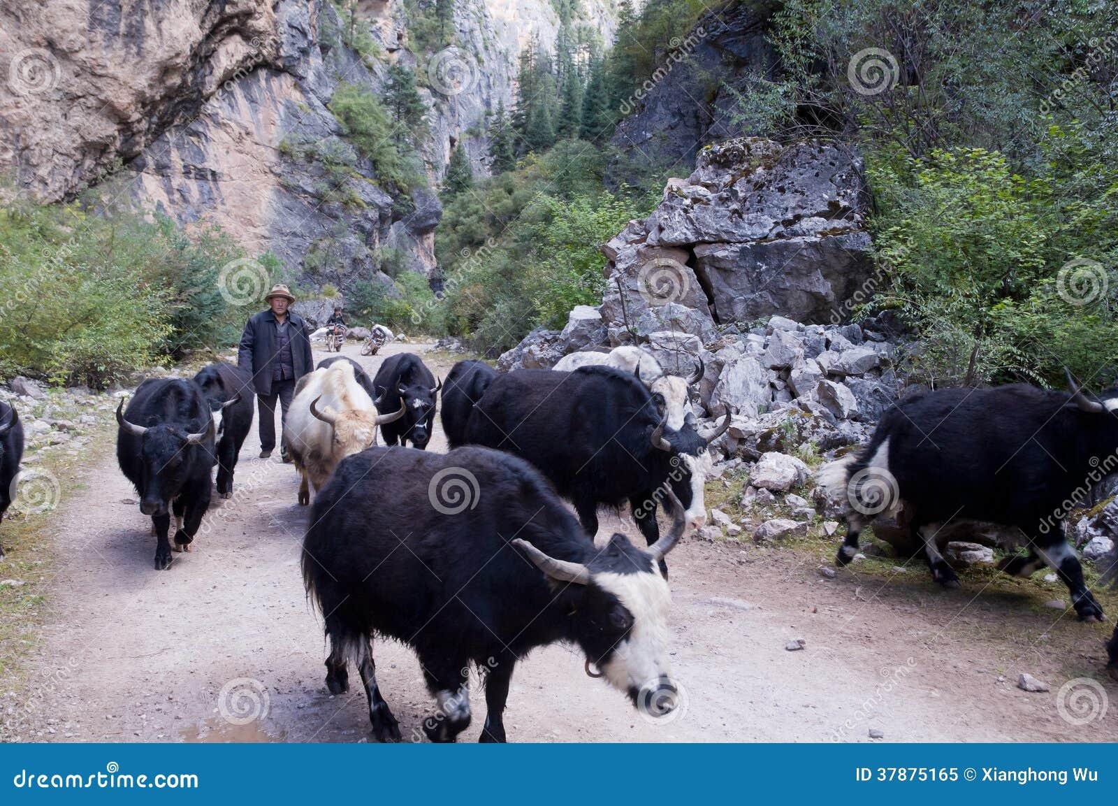 Tibetaanse mensen met zijn yaks