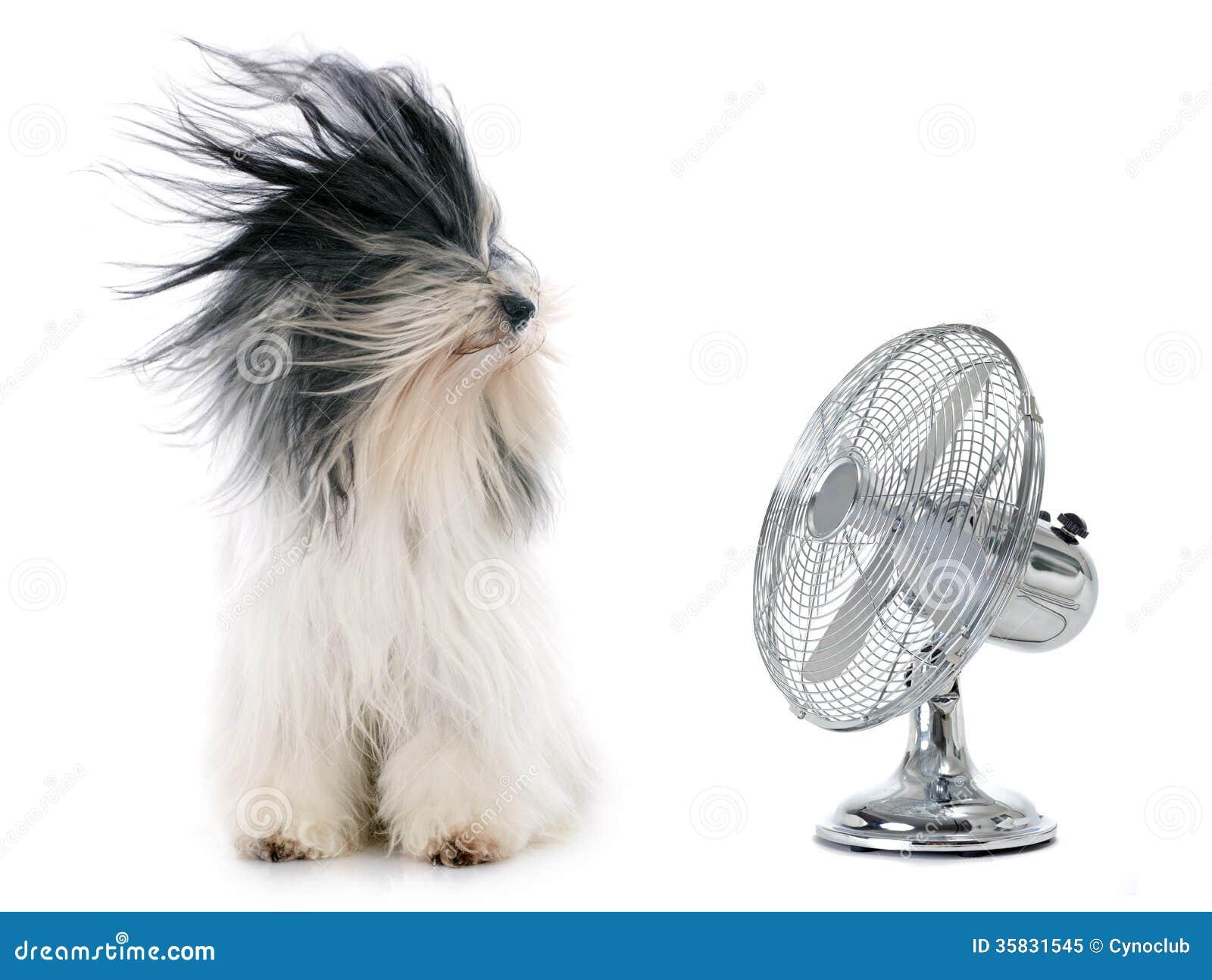 Tibetaanse terriër en ventilator