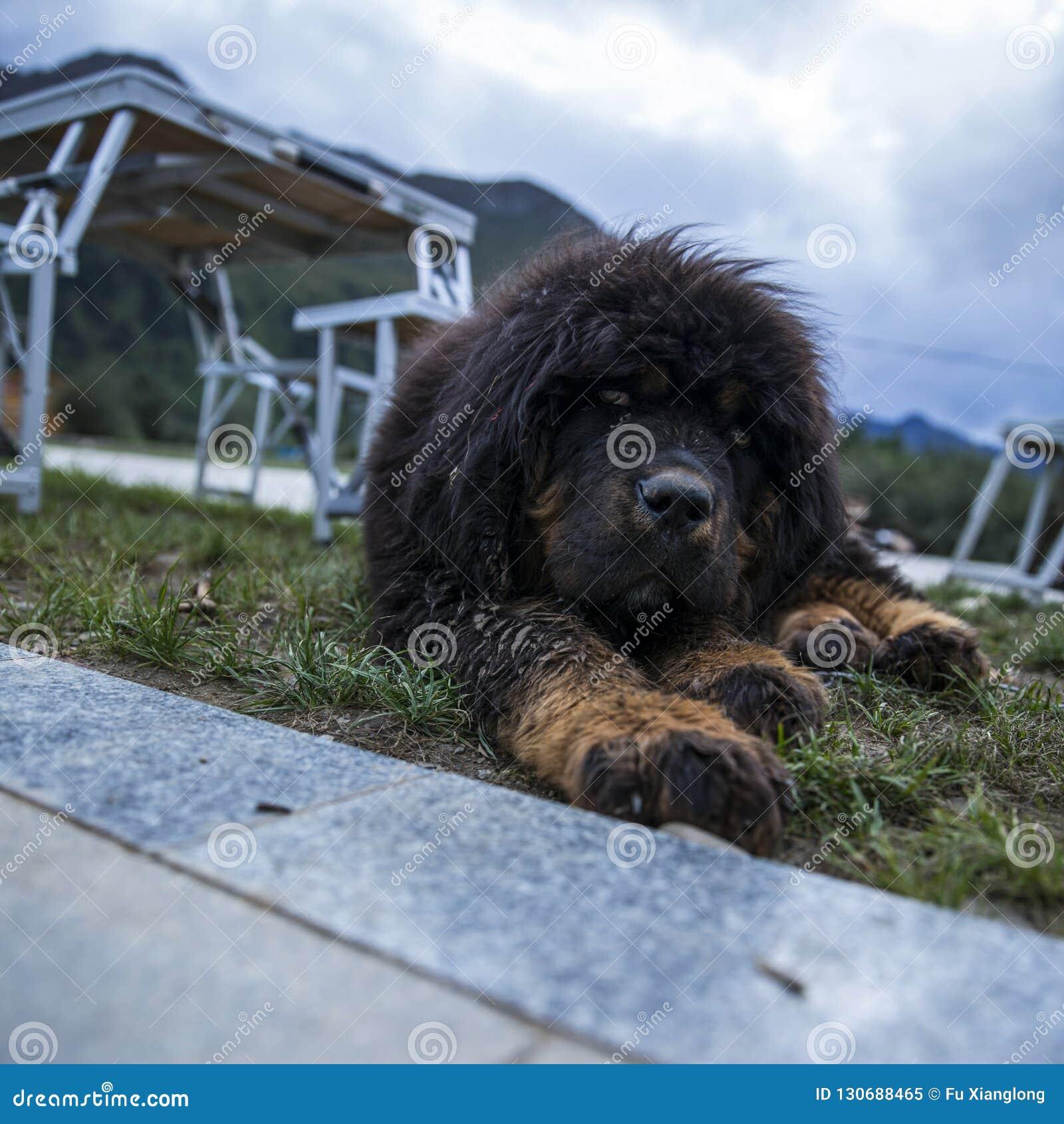 The Tibetan Mastiff Puppies Stock Image - Image of lettle