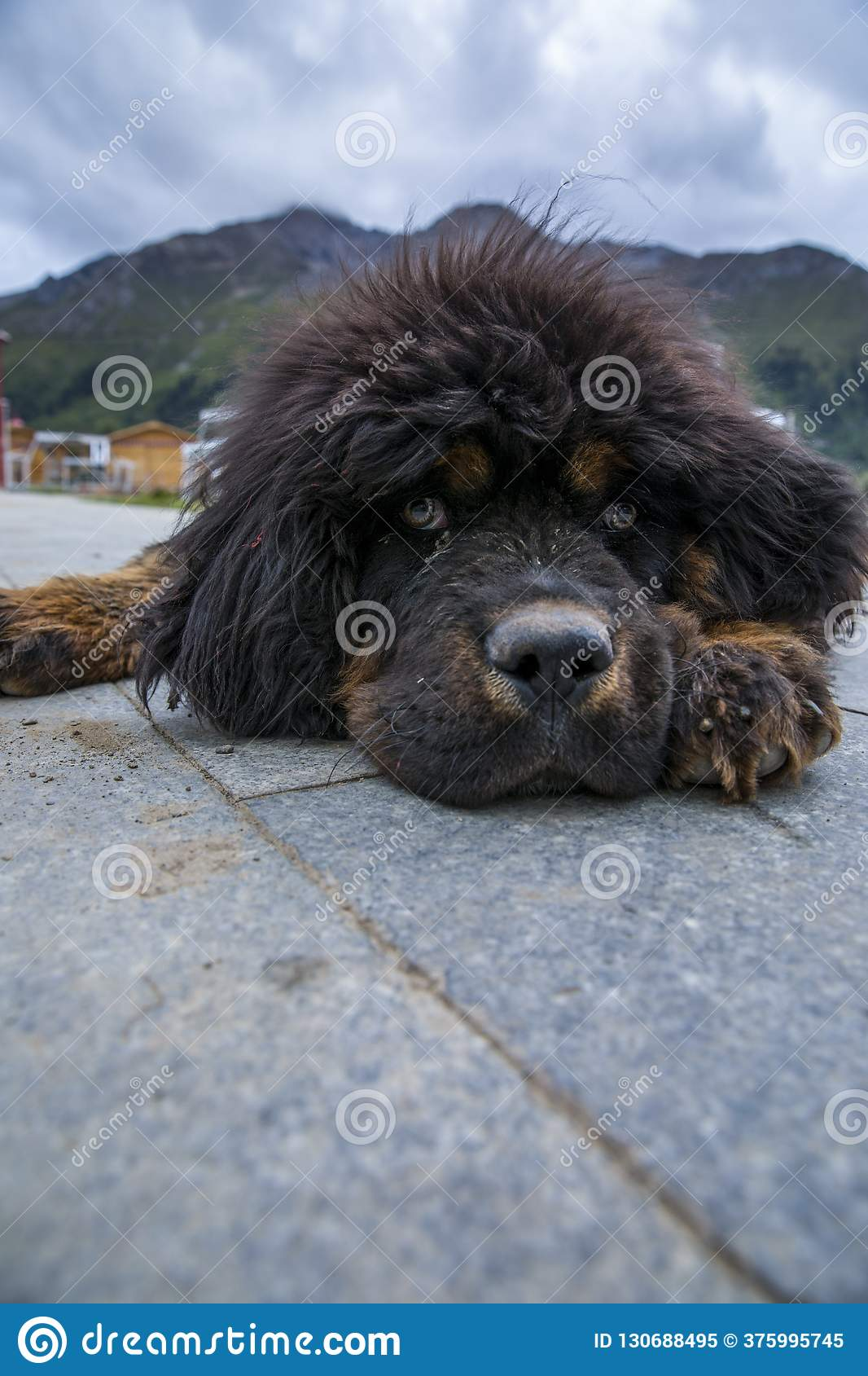 The Tibetan Mastiff Puppies Stock Image - Image of loyal, mastiff