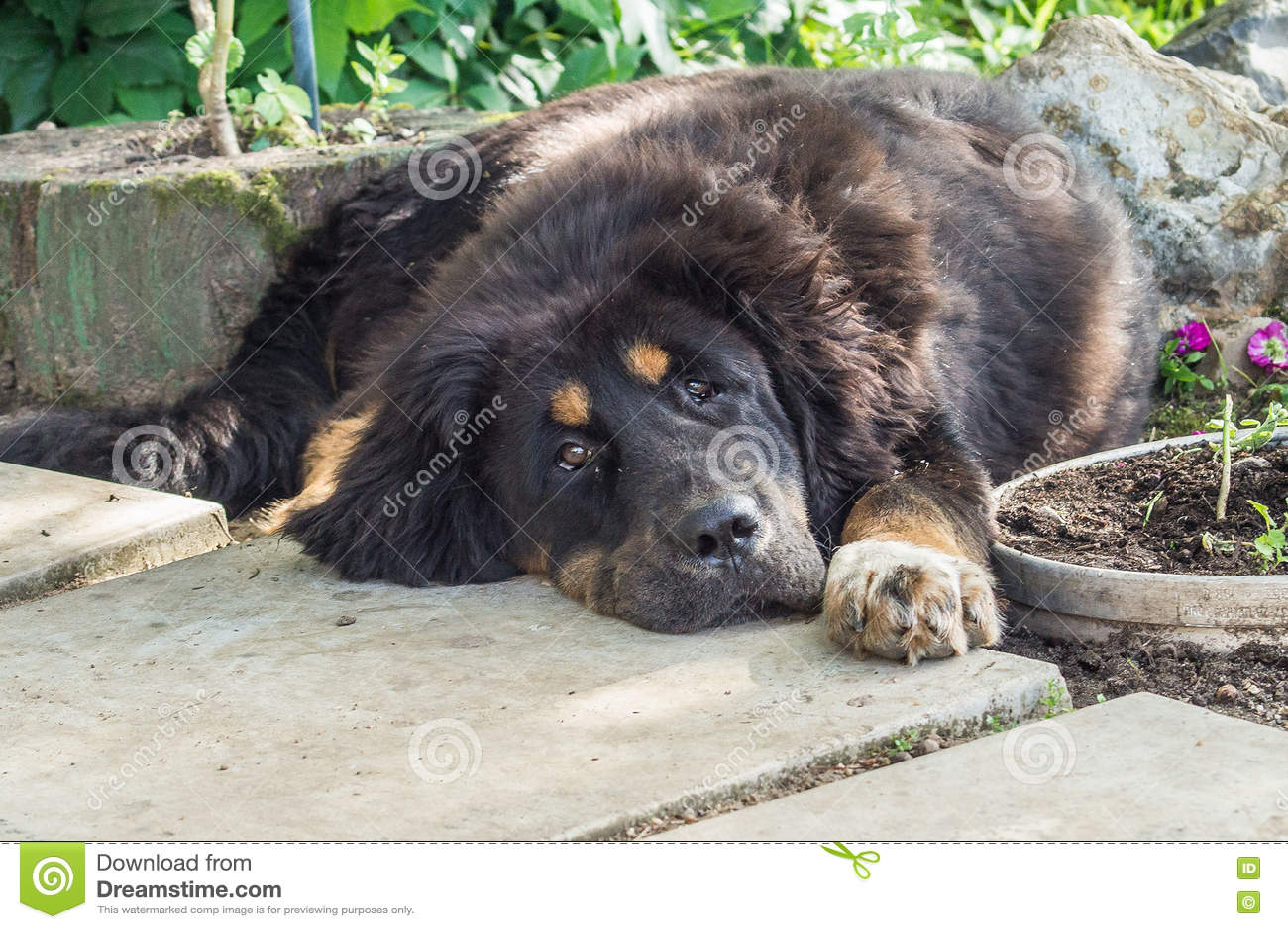 The Tibetan Mastiff puppy  stock photo  Image of allows