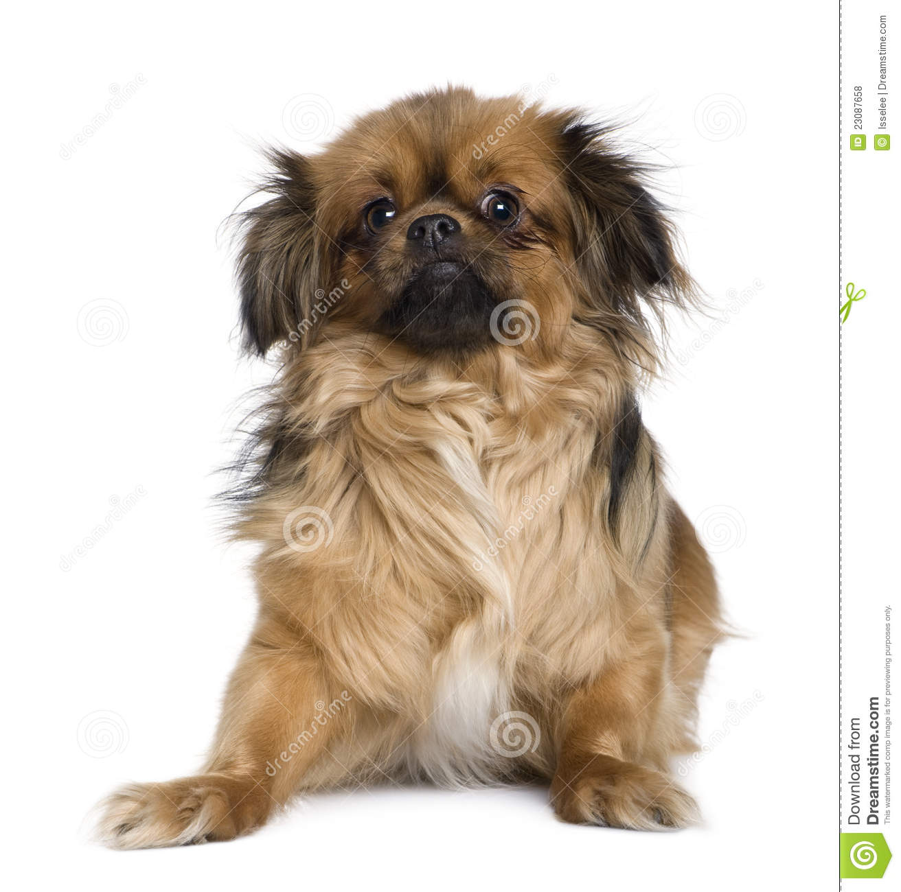 Tibetan spaniel, 4 years old, in front of white