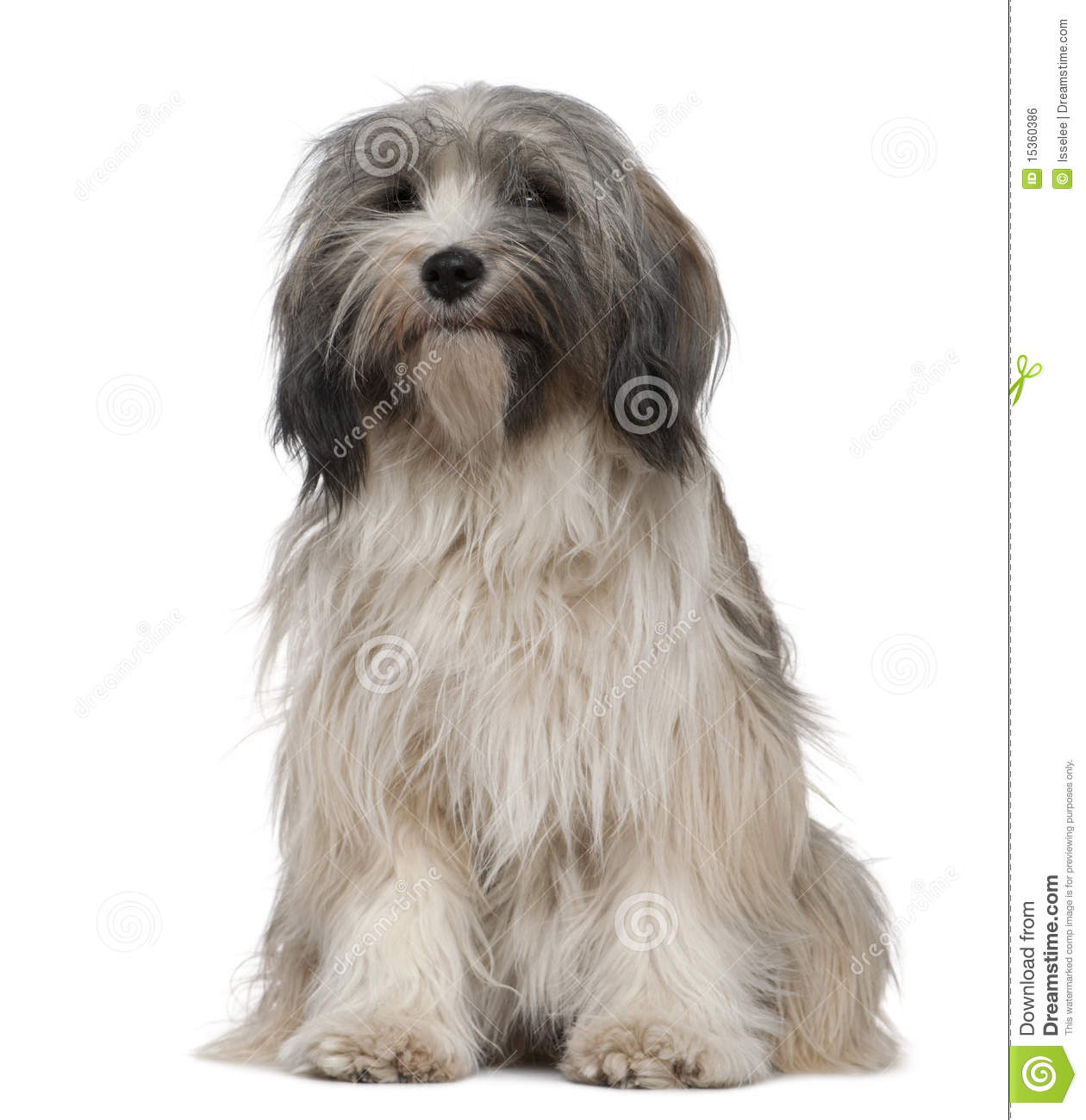himalayan terrier tibetan terrier 1 year old sitting stock photo image 4488