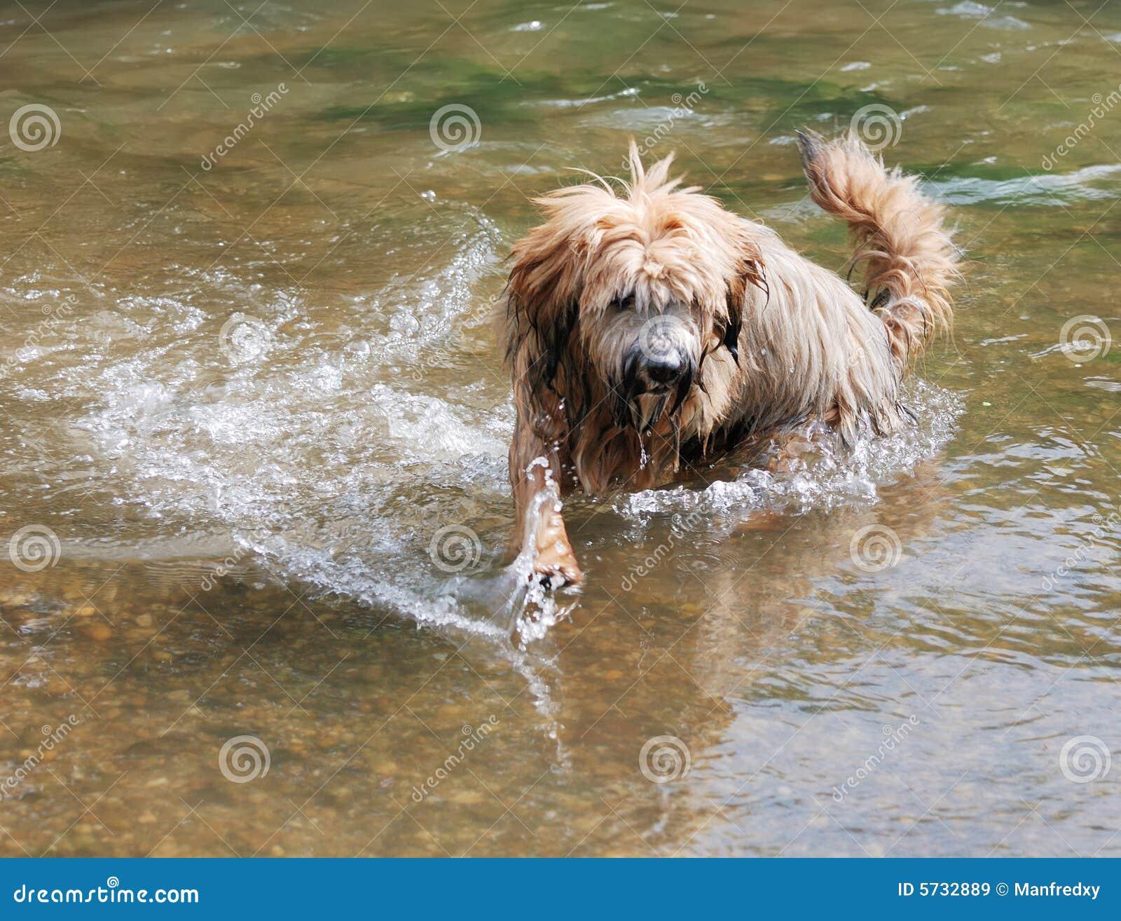 Tibetan Terrier Dog Royalty Free Stock Images - Image: 5732889
