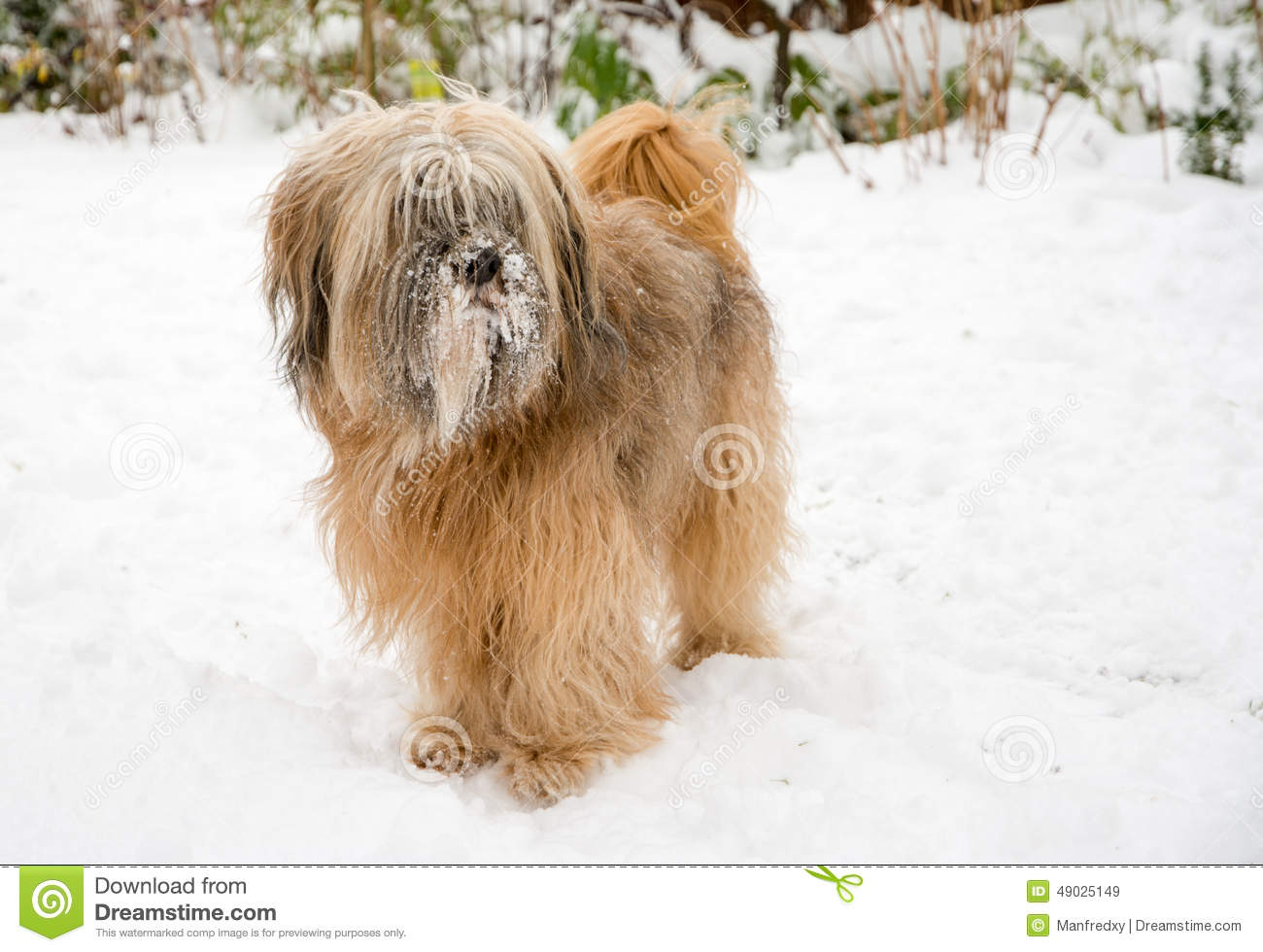 Brown long haired tibetan terrier dog standing in the snow.