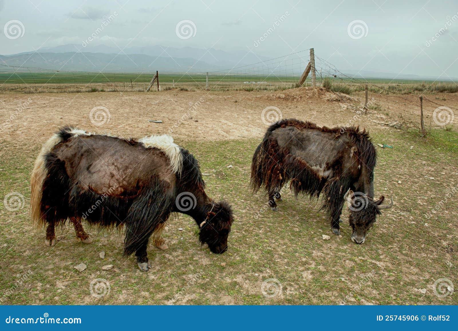 Tibetan Yaks grazing in Qinghai