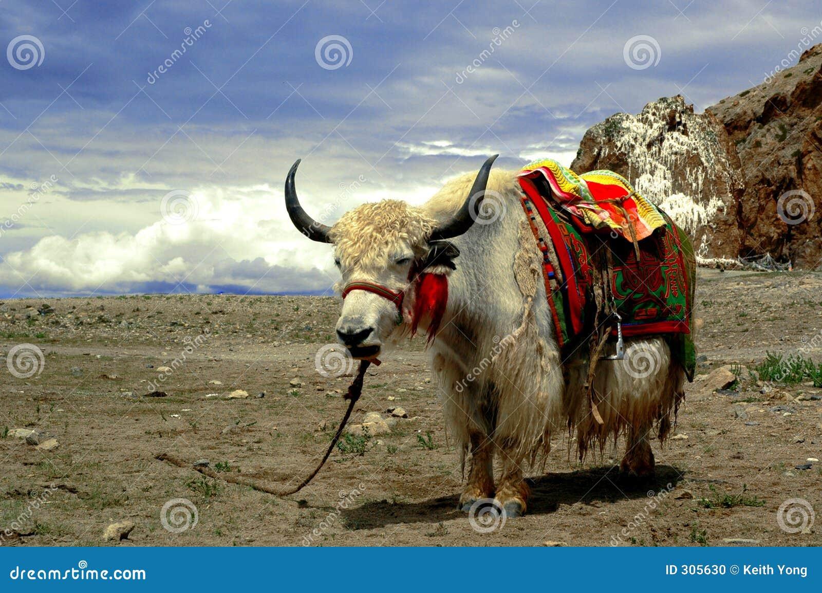 Tibetanische Yak