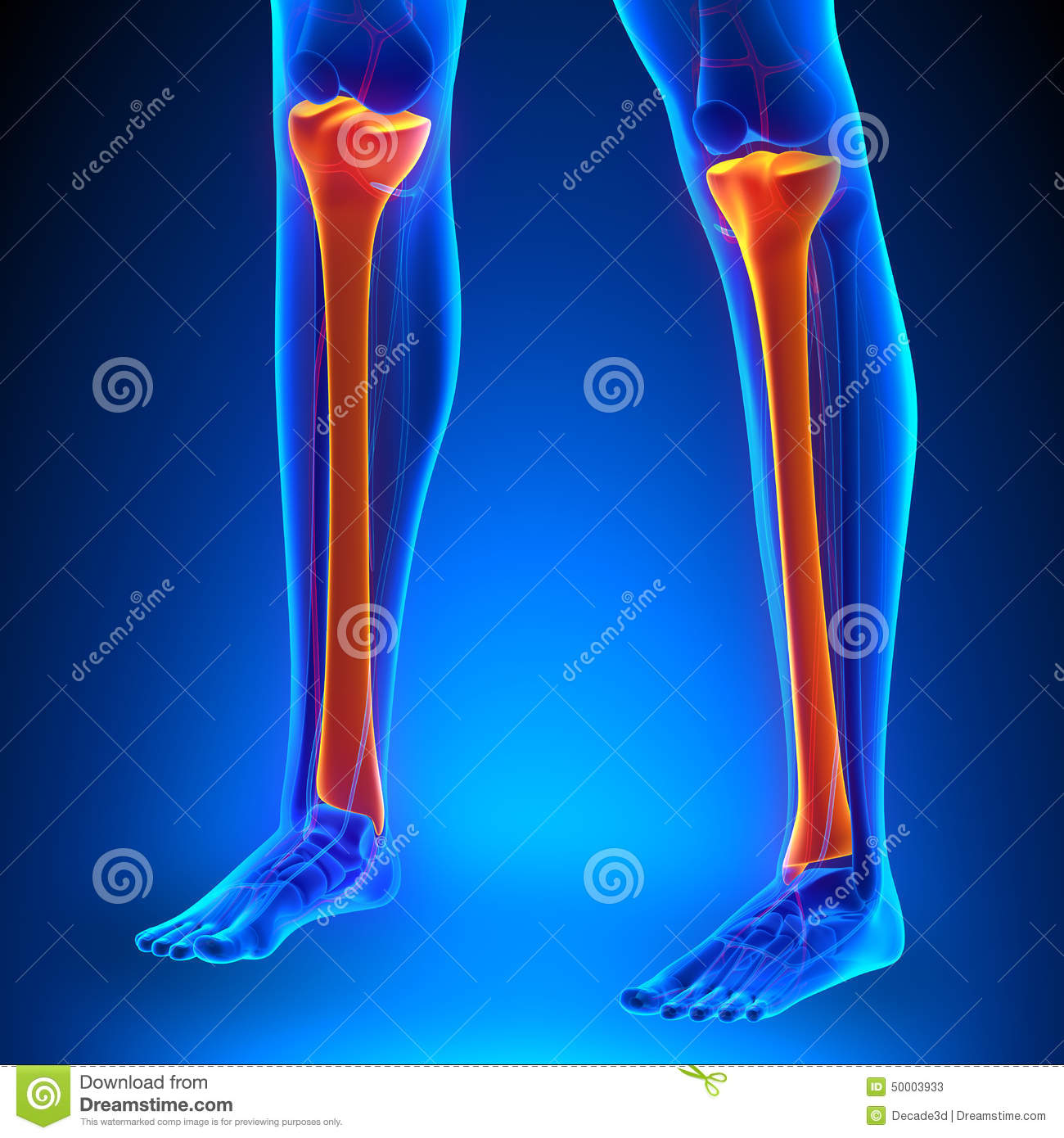Tibia Anatomy Bones With Ciculatory System Stock Illustration ...