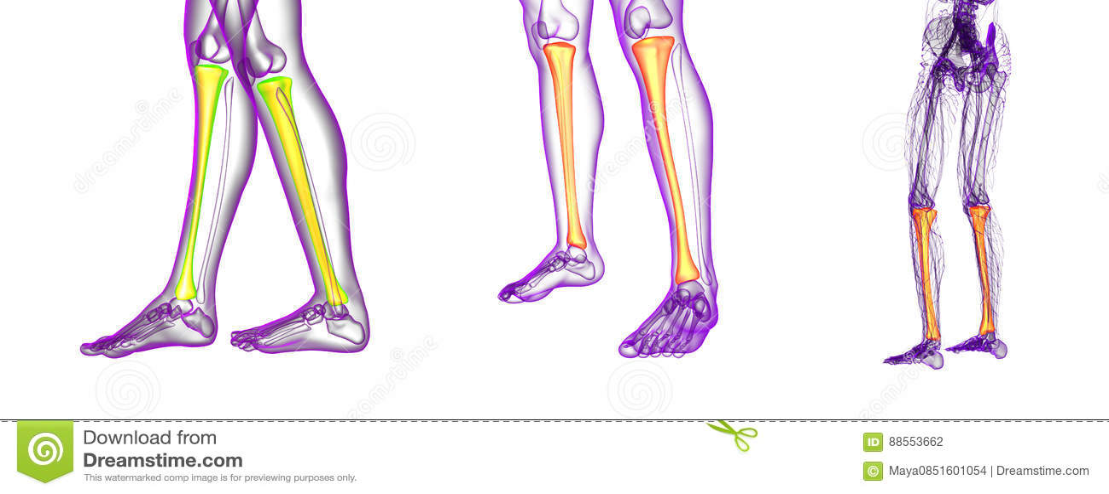 Tibia bone stock illustration. Illustration of human - 88553662