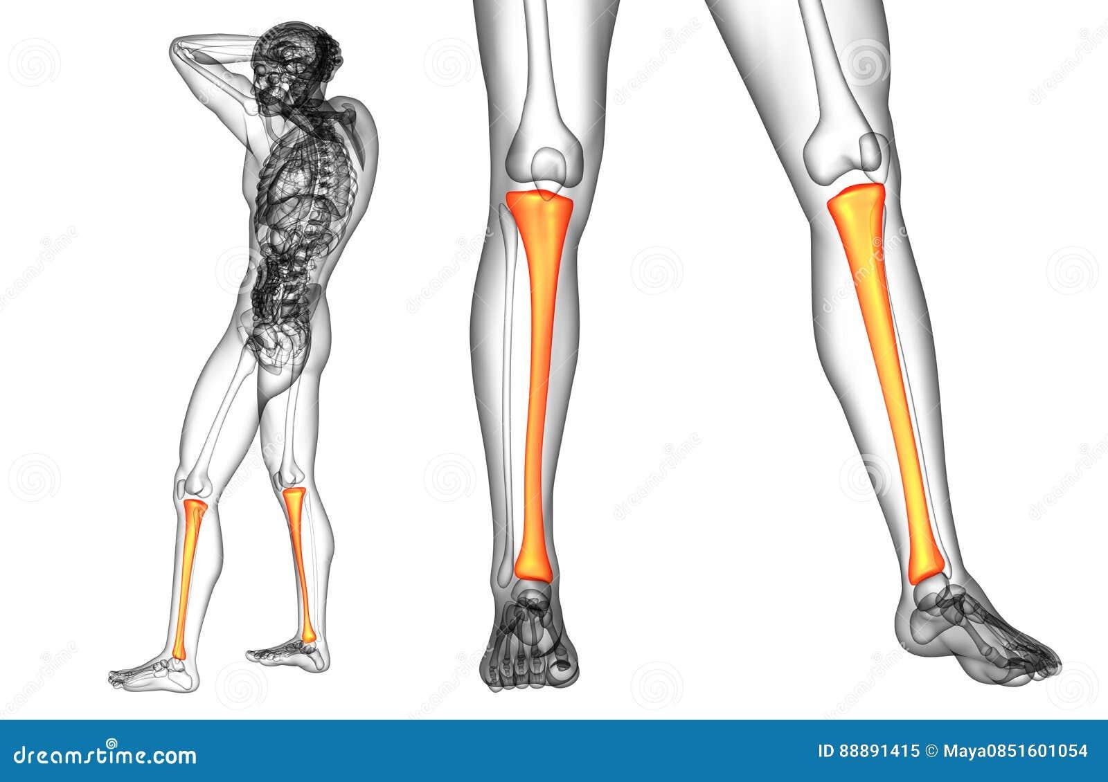 Tibia Bone Stock Illustration Illustration Of Ankle 88891415