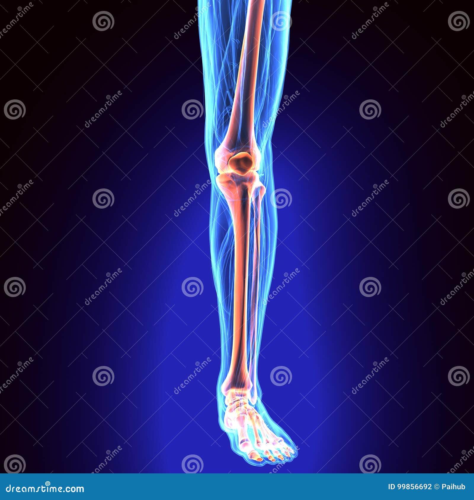3D Illustration Of Tibia - Part Of Human Skeleton. Stock ...