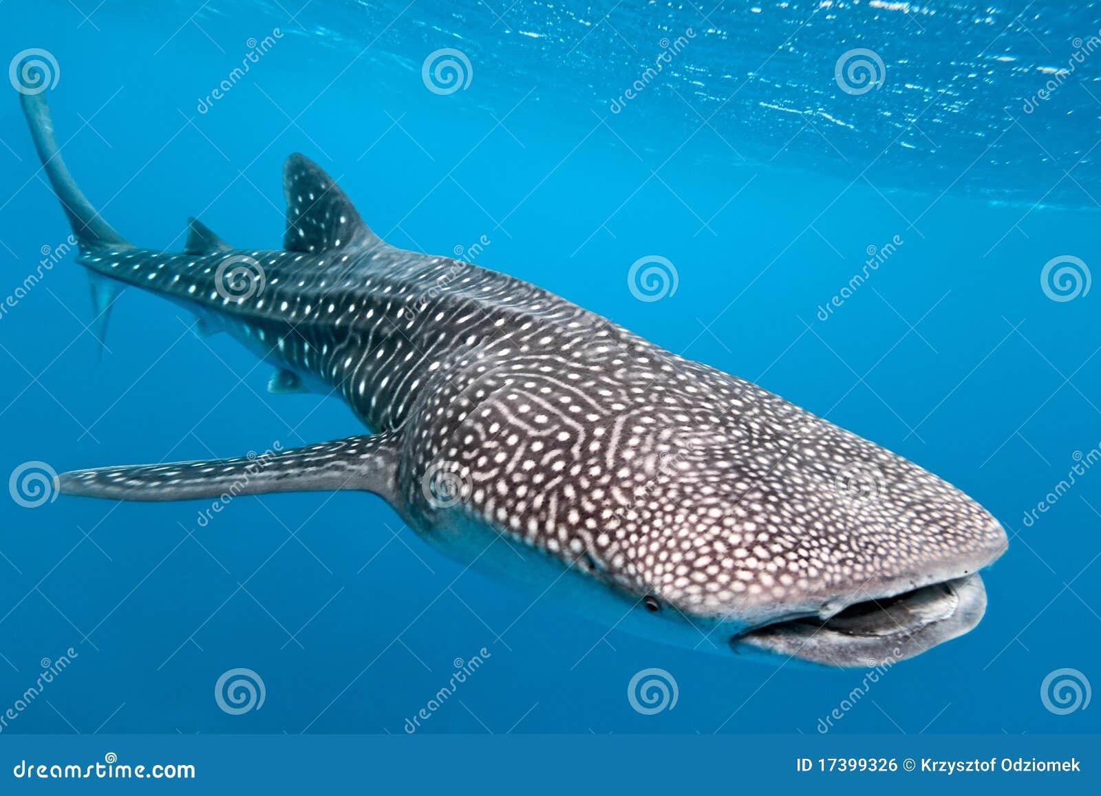 Tiburón de ballena