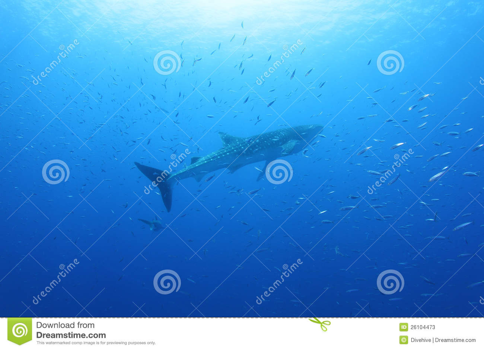 Tiburón de ballena en el Mar Rojo