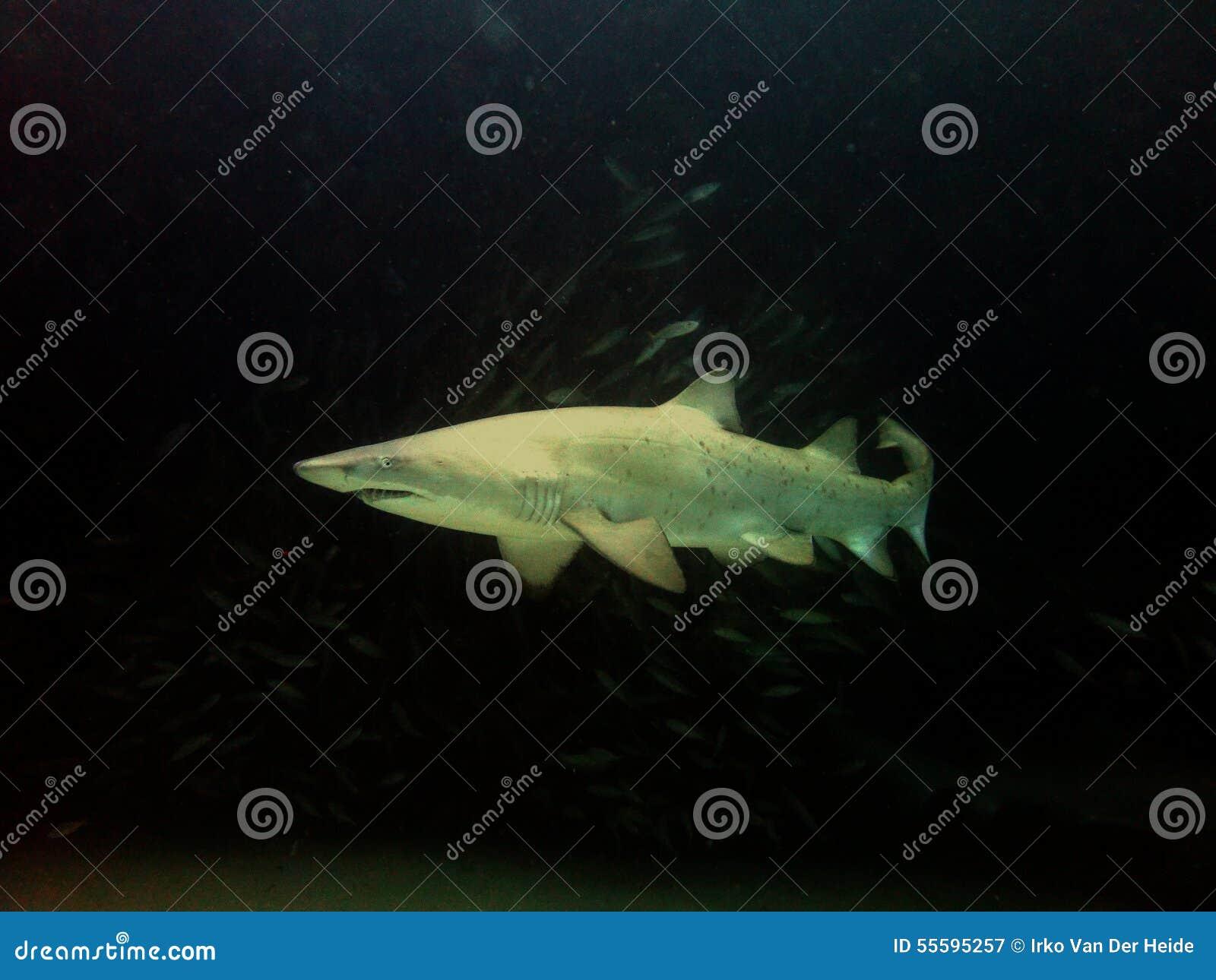 Tiburón de Grey Nurse