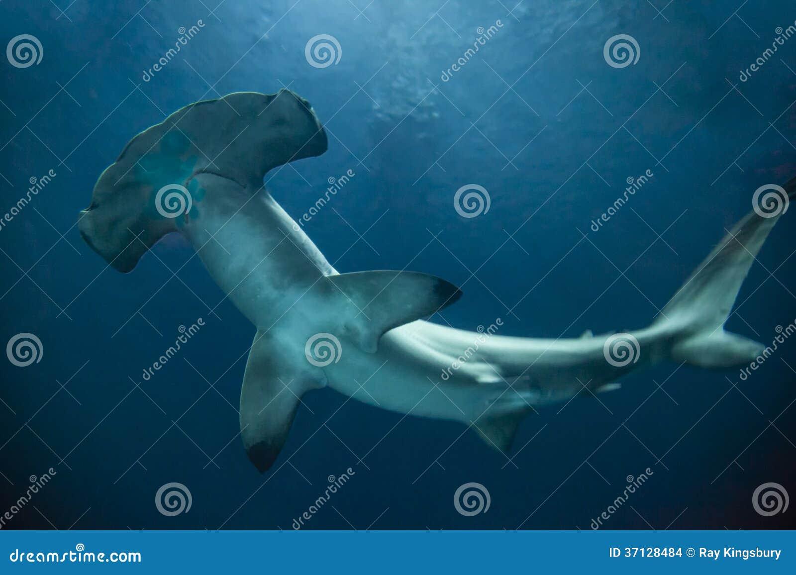 Tiburón de Hammerhead