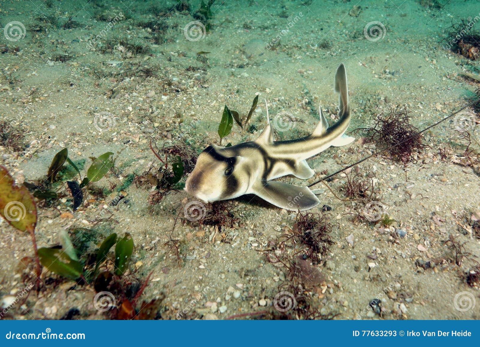 Tiburón de Jackson del puerto del bebé