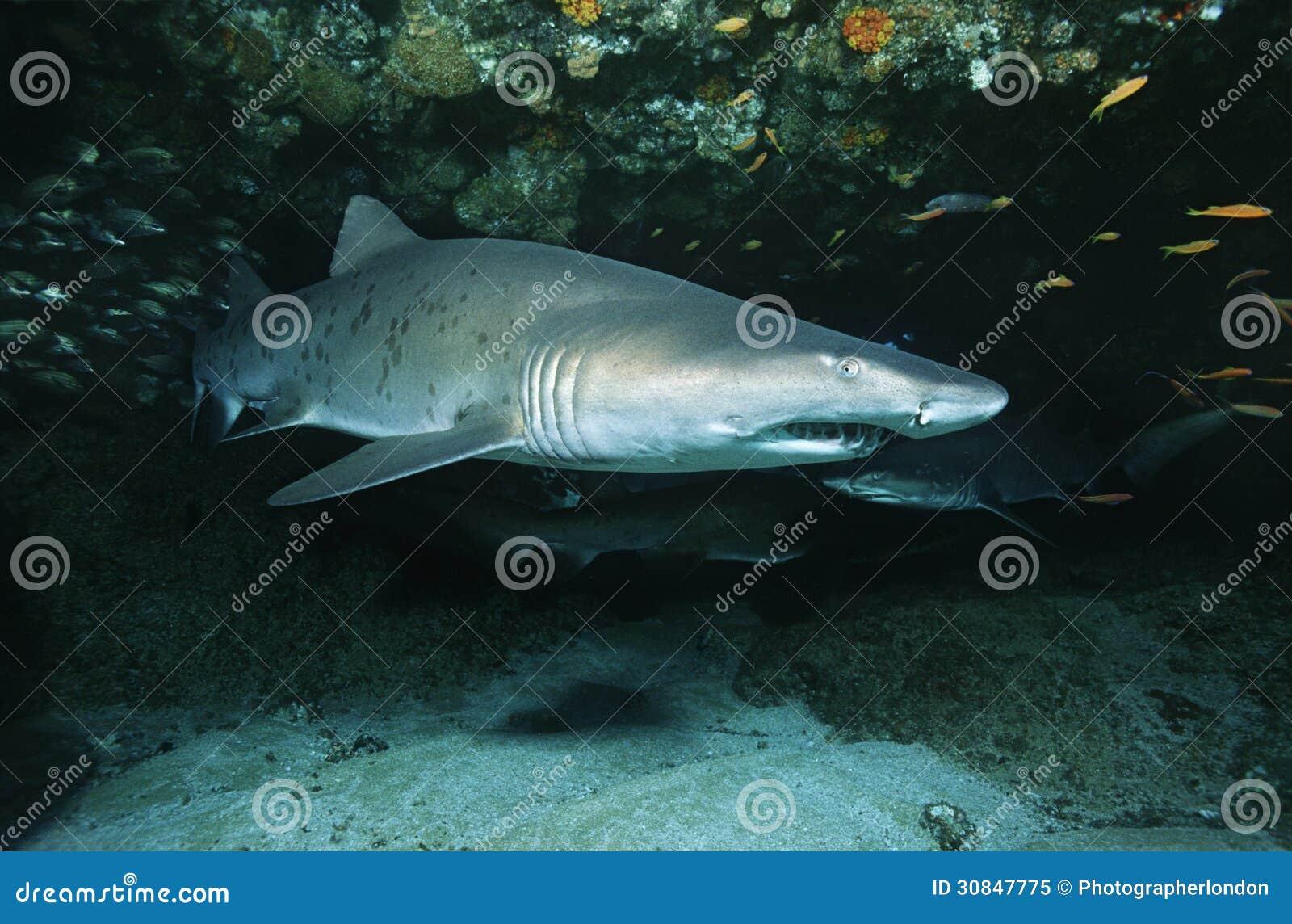 Tiburón de tigre de arena de Suráfrica del Océano Índico del bajío de Aliwal (tauro del Carcharias) en cueva