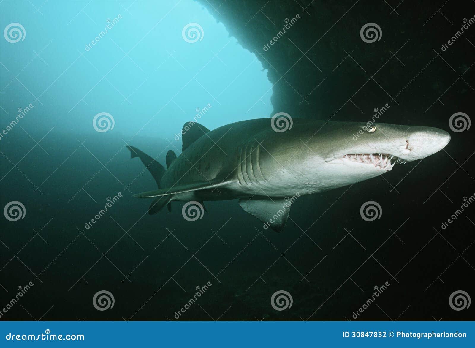 Tiburón de tigre de arena de Suráfrica del Océano Índico del bajío de Aliwal (tauro del Carcharias) en cueva subacuática