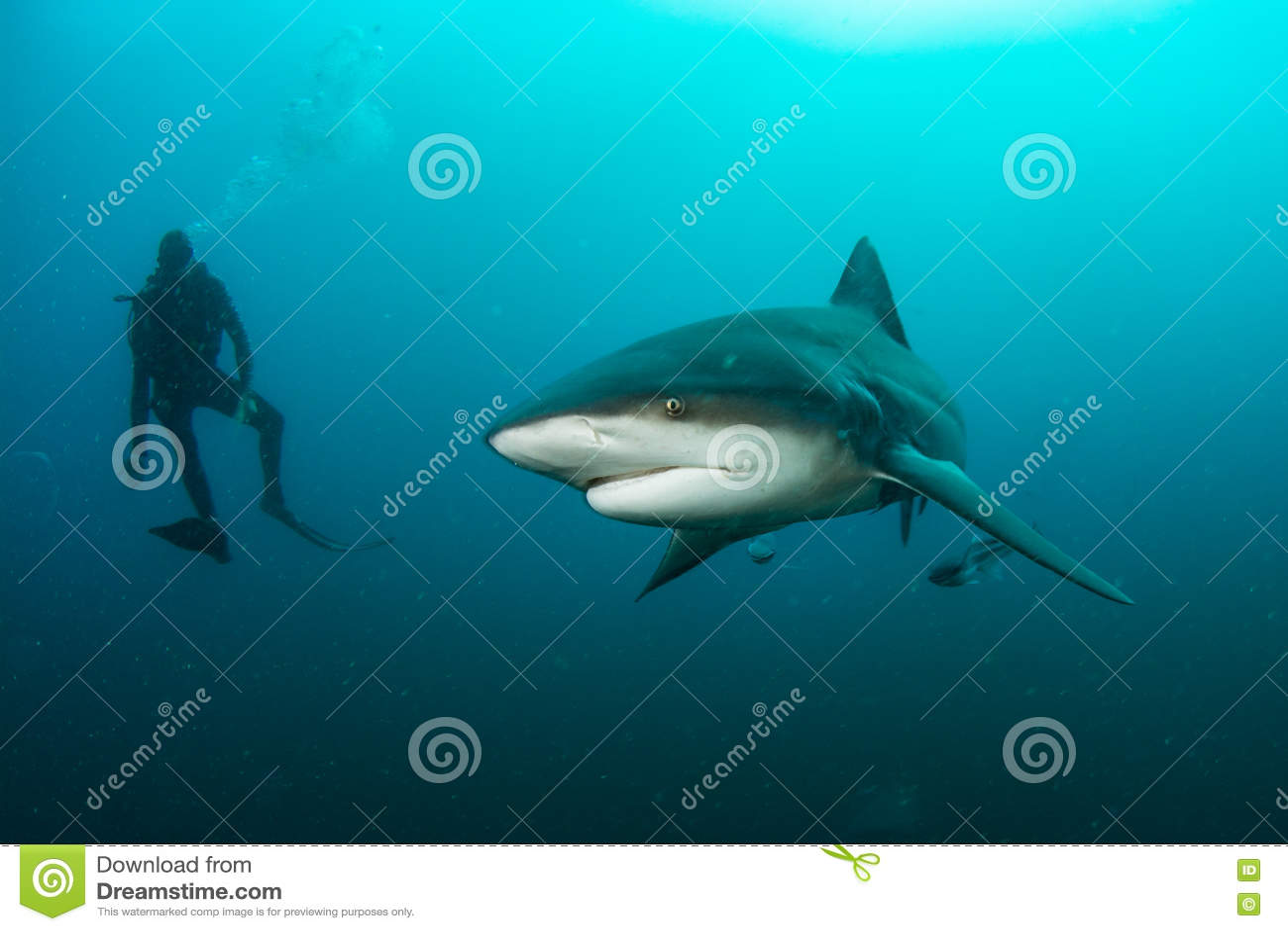 Tiburón de toro gigante