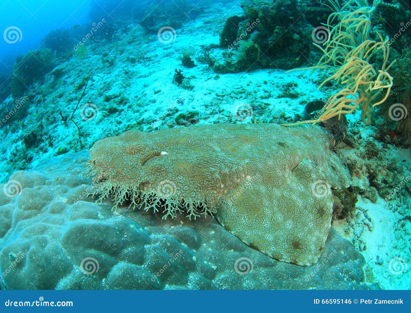 Tiburón de Wobbegong