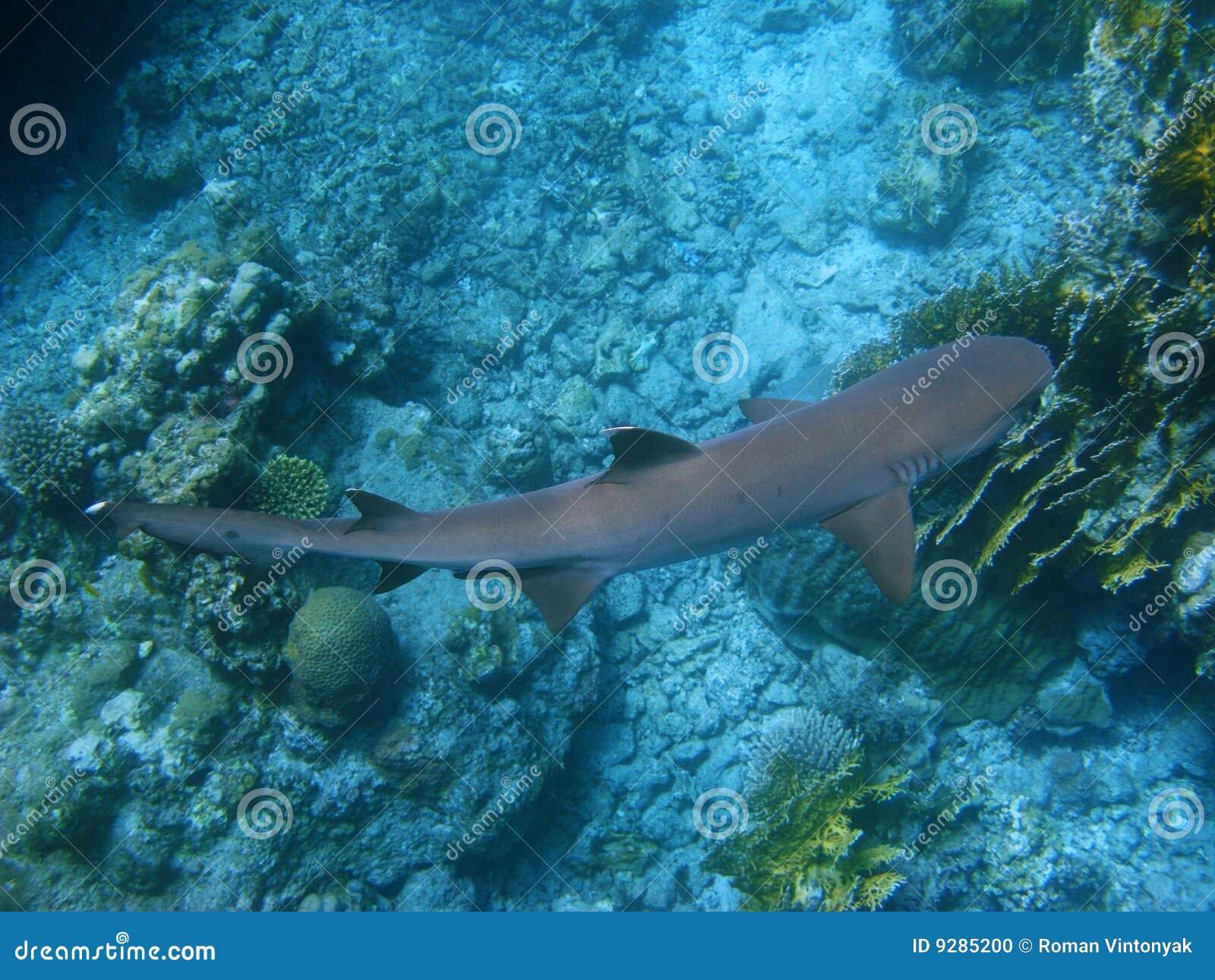 Tiburón del filón y filón coralino