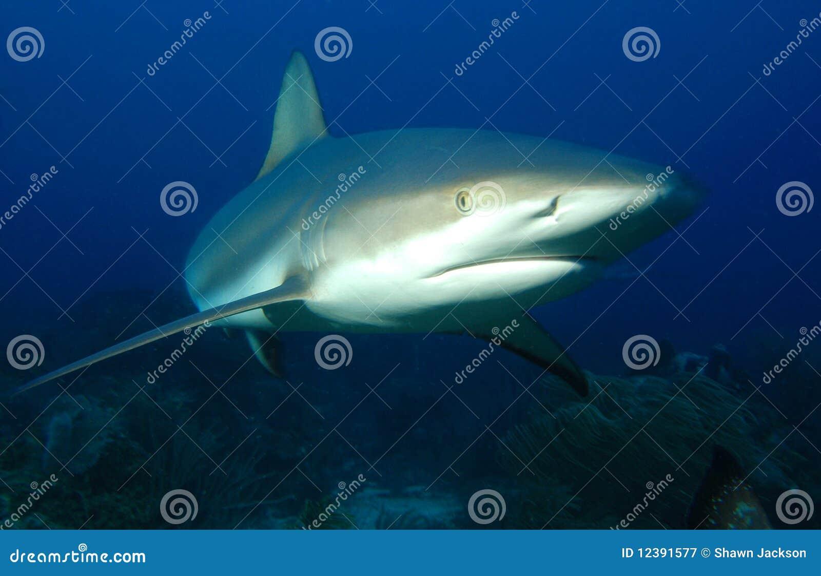 Tiburón gris del filón