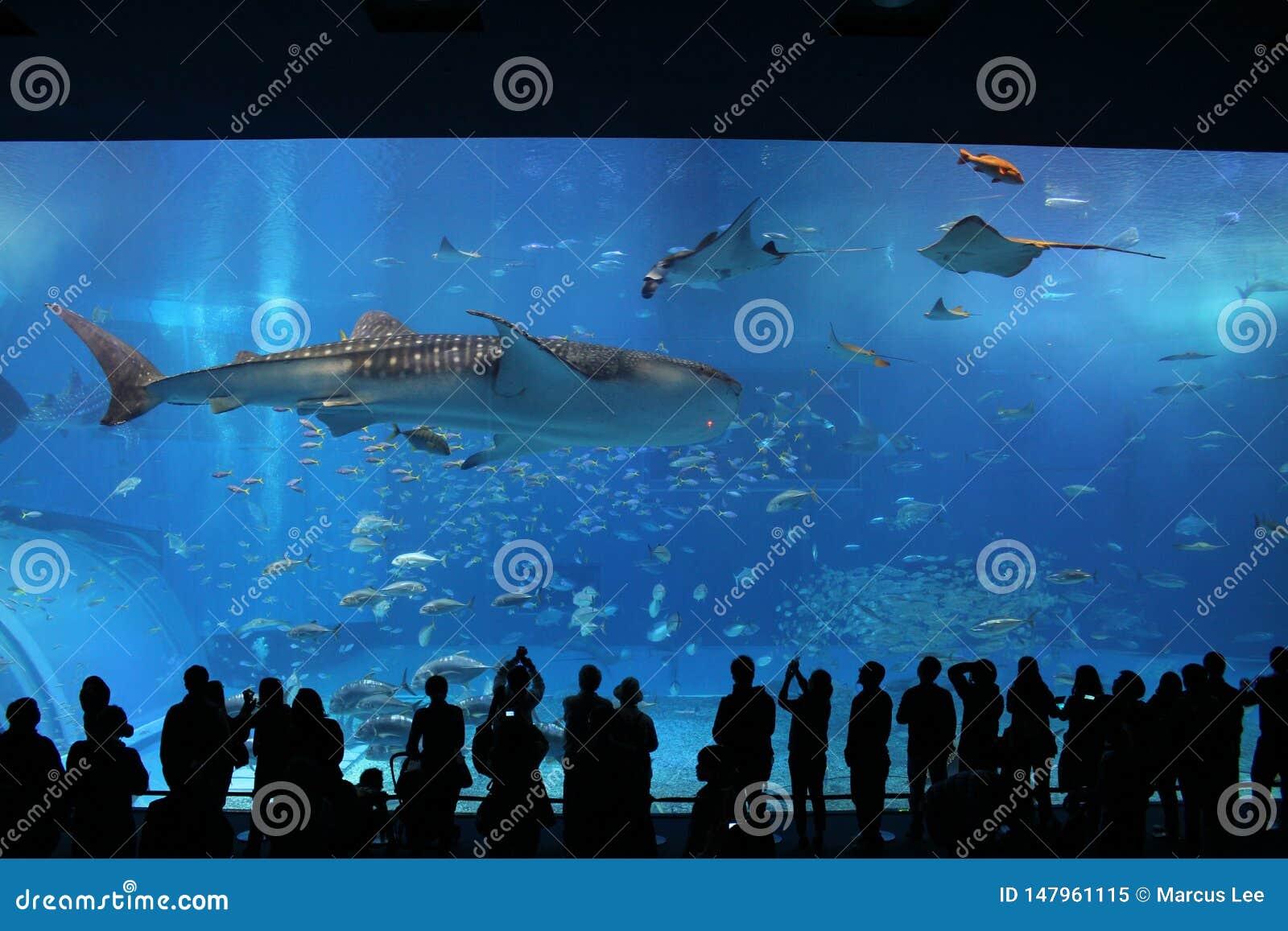 Tiburones de ballena Okinawa Prefecture Churaumi Aquarium Kuroshio actual