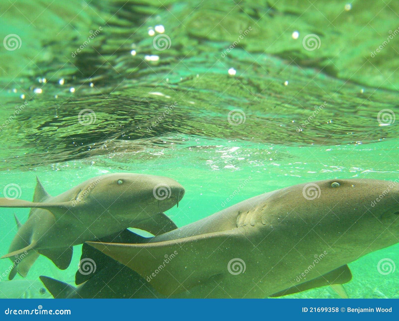 Tiburones de enfermera Belice