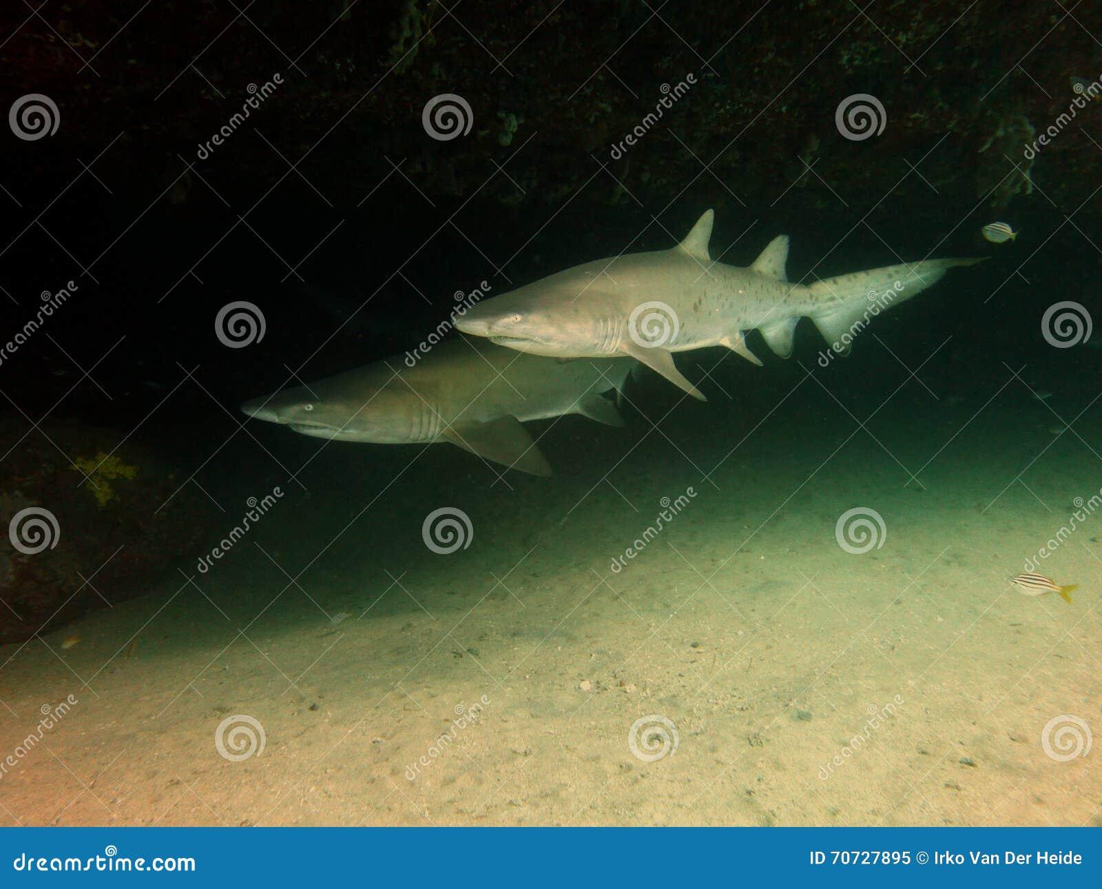 Tiburones de enfermera grises