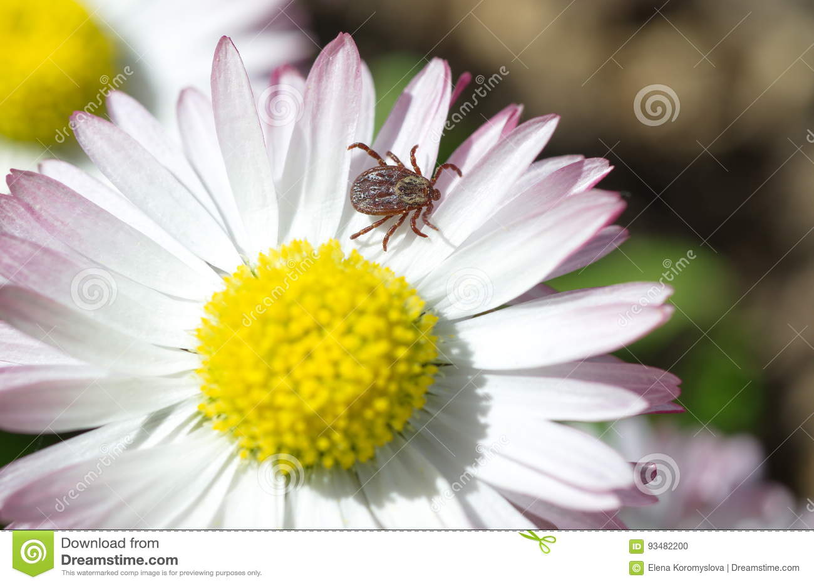 Tick Lat Acarina On A Daisy Flower Stock Photo Image Of