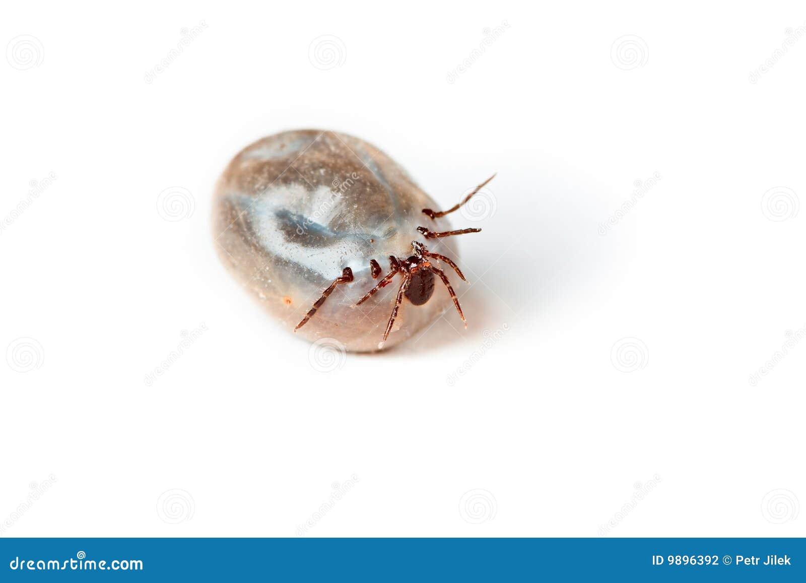 Tick - parasite on white background