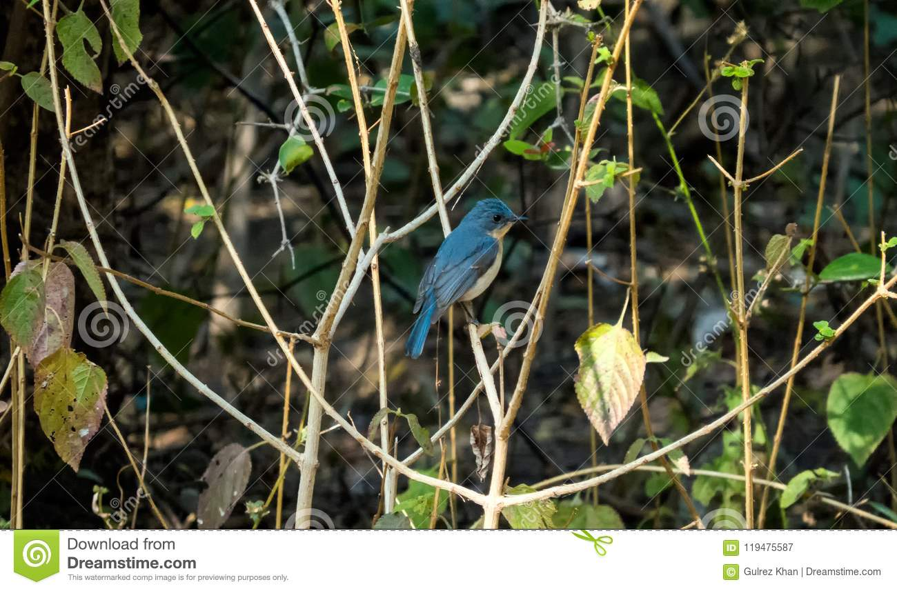 Tickell`s blue flycatcher bird in a forest near Indore, India