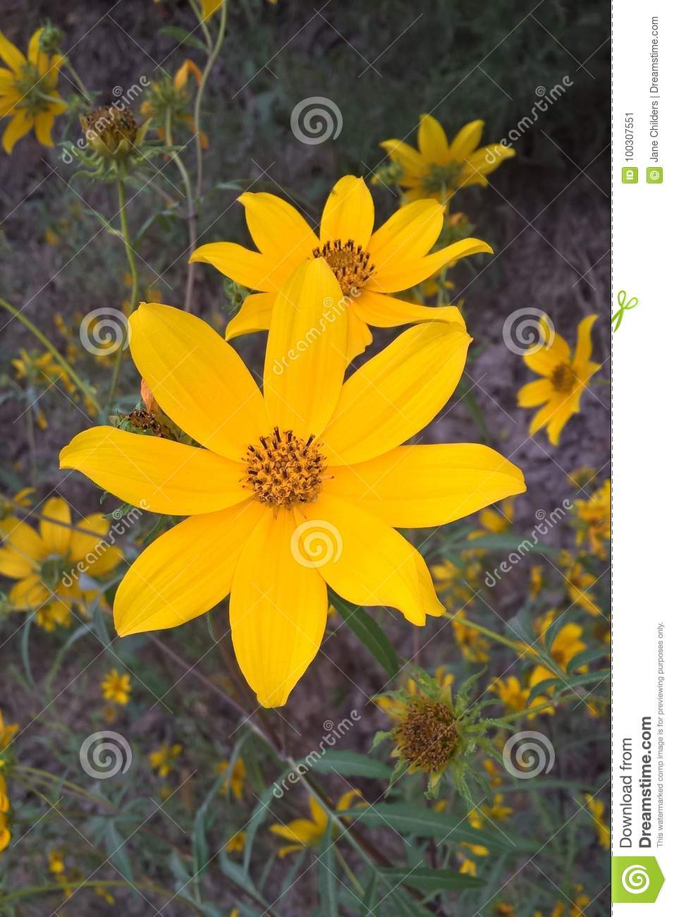Tickseed Flower Stock Image Image Of Green Planting 100307551