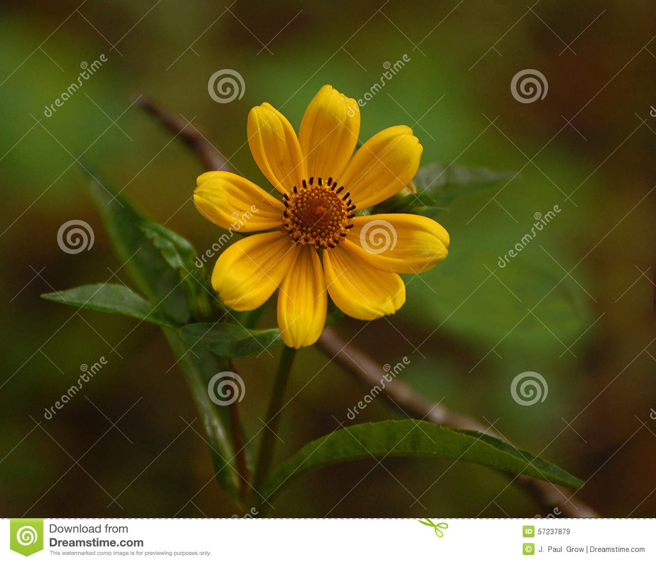 Tickseed sunflower stock image image of daisy tall 57237879 royalty free stock photo izmirmasajfo Gallery