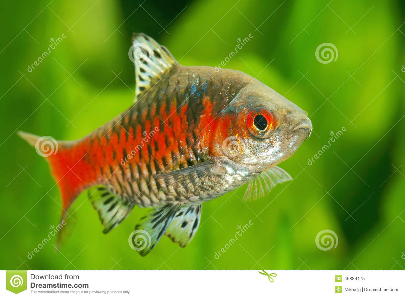 Gold barb fish in an aquarium royalty free stock for Gold barb fish