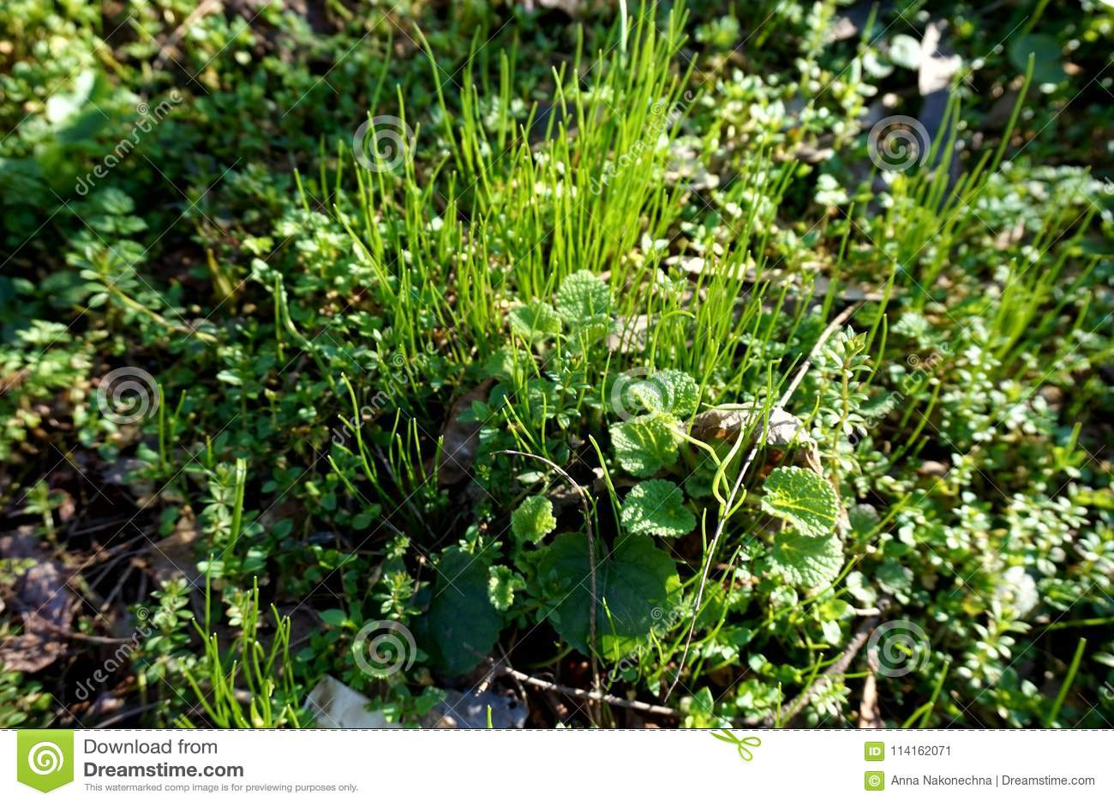 Tidigt grönt vårgräs på gräsmattan