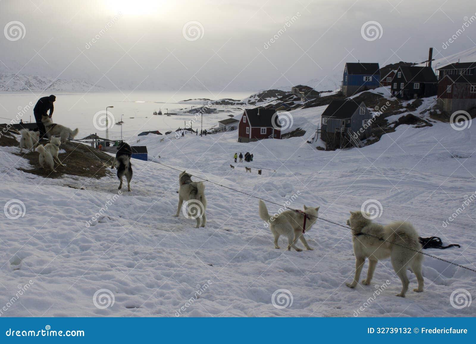 tied sled dogs in the kummiut eskimo village stock photography