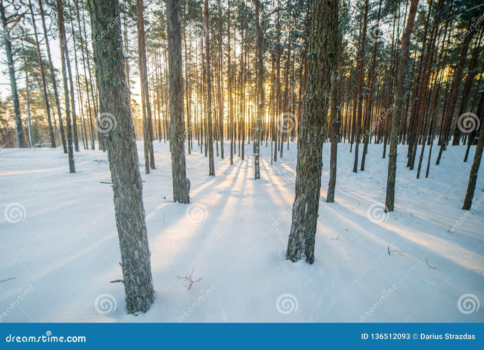 Tiempo Nevado en el bosque, luz natural de la salida del sol