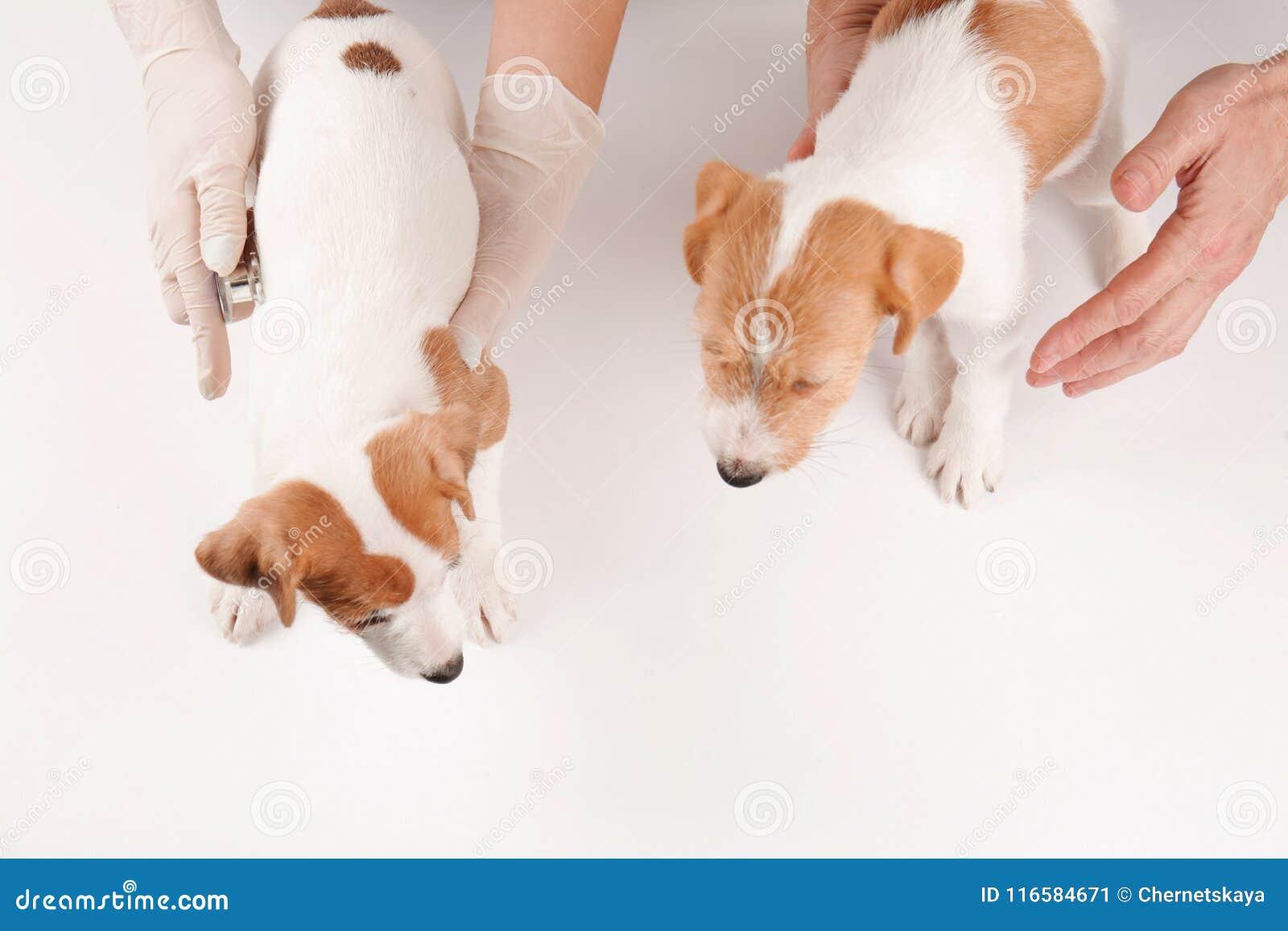 Tierärzte, die nette lustige Hunde überprüfen