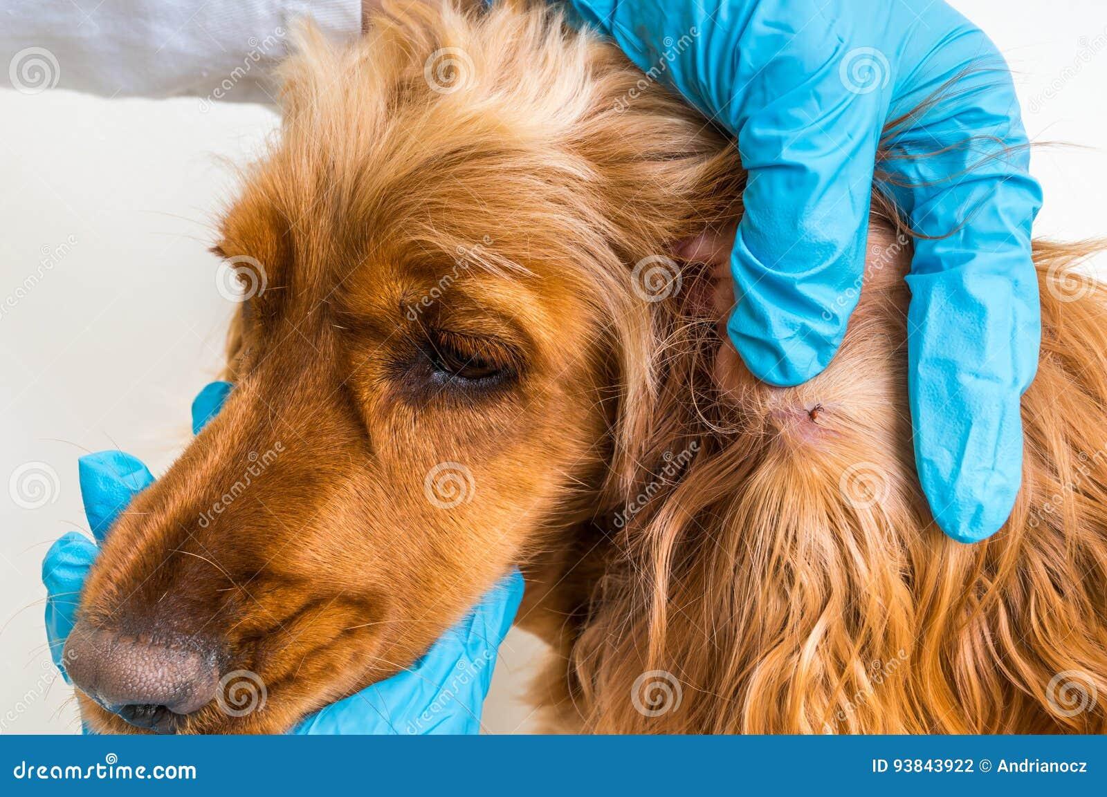 Tierarzt, der eine Zecke vom Cocker spaniel-Hund entfernt