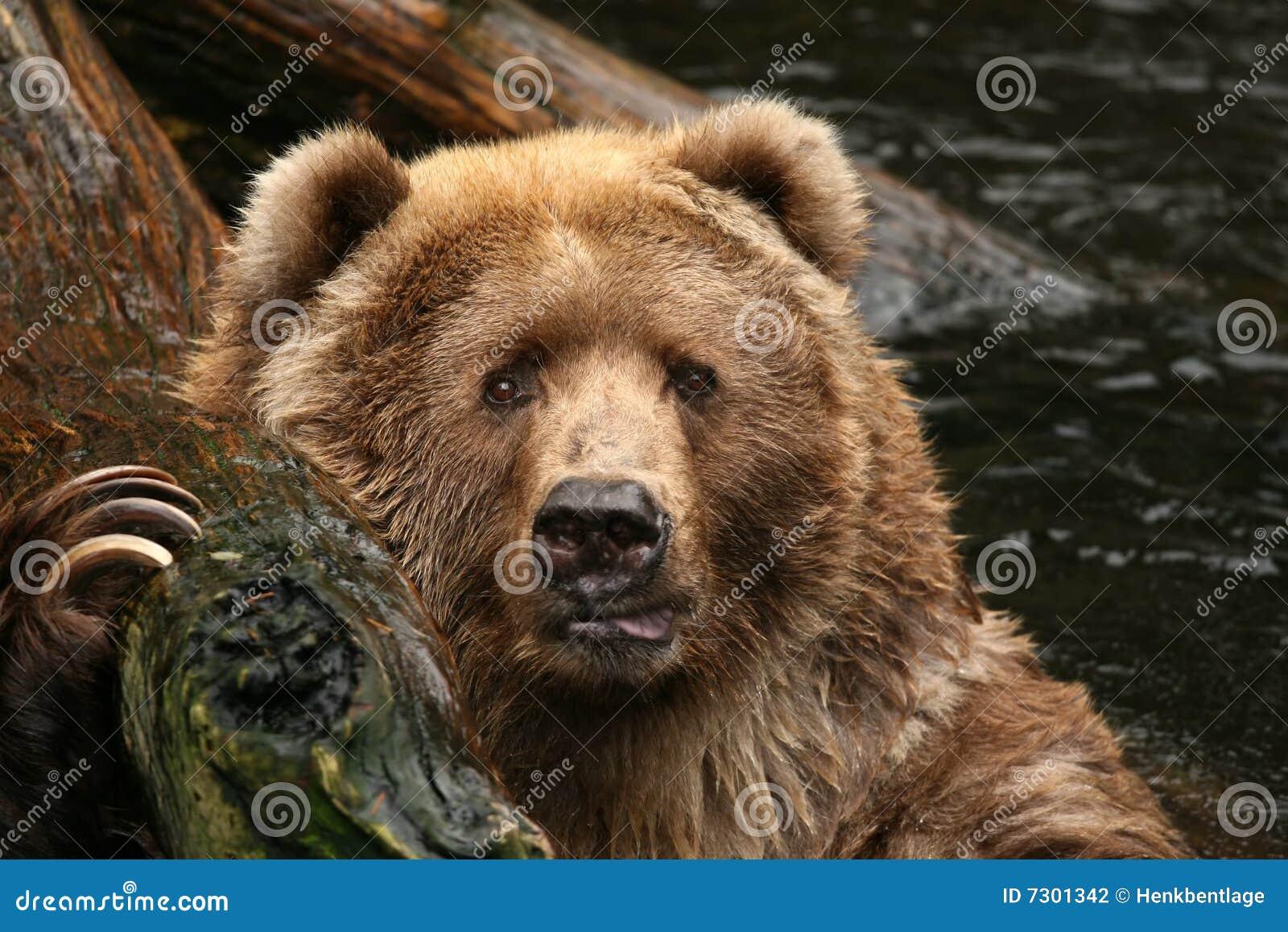 Tiere: Bär, der Sie betrachtet