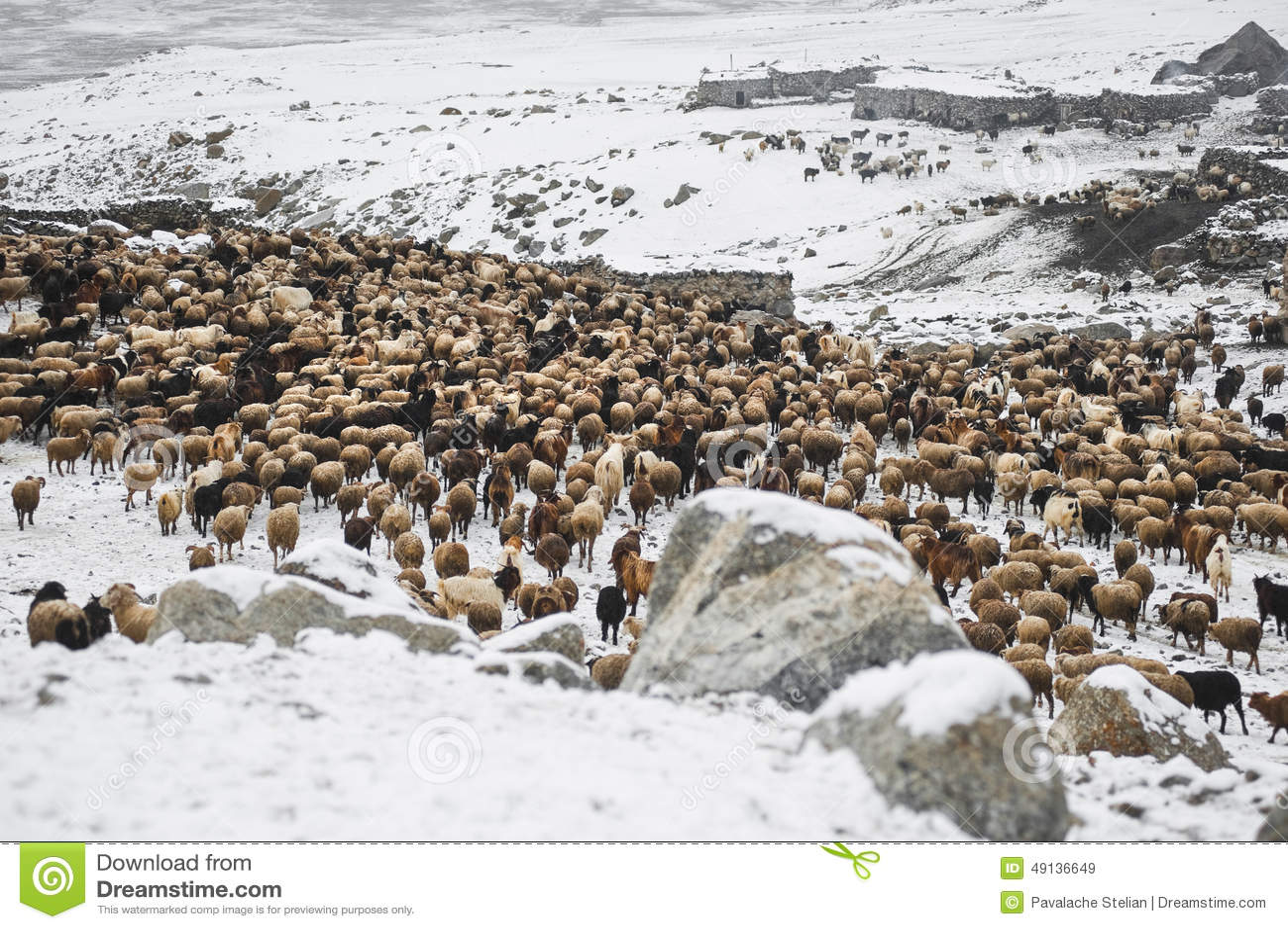 Tiere, die vom Weiden lassen in den Bereichen von hohen Karakoram-Bergen zurückgehen