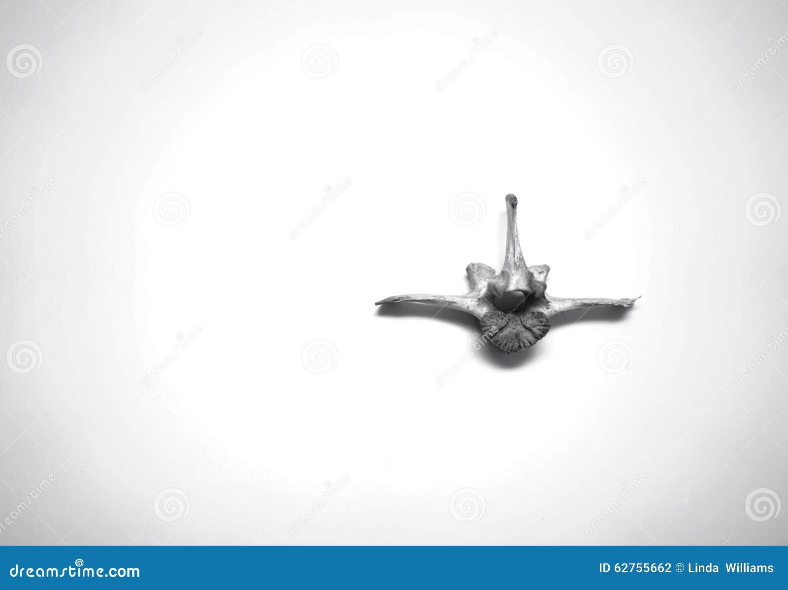 Tierischer Spinaler Wirbelknochen Stockfoto - Bild von tier, rücken ...