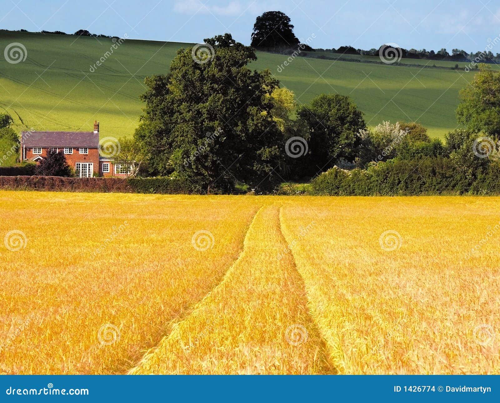Tierras de labrantío con las cosechas del cereal