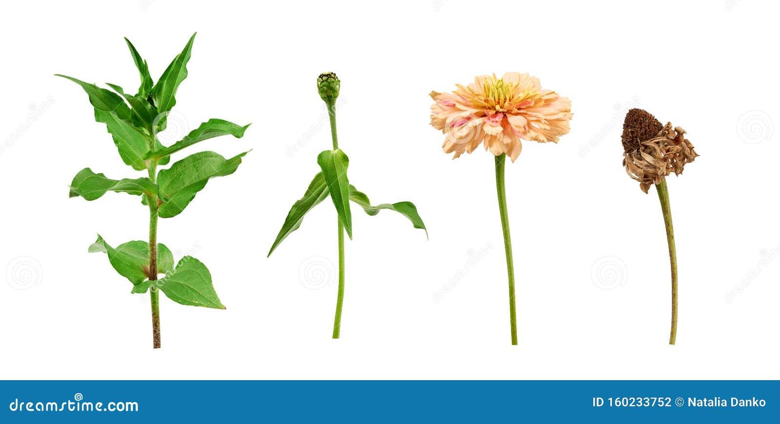 Tige De Fleur Zinnia Avec Feuilles Vertes, Bourgeon Fleuri ...