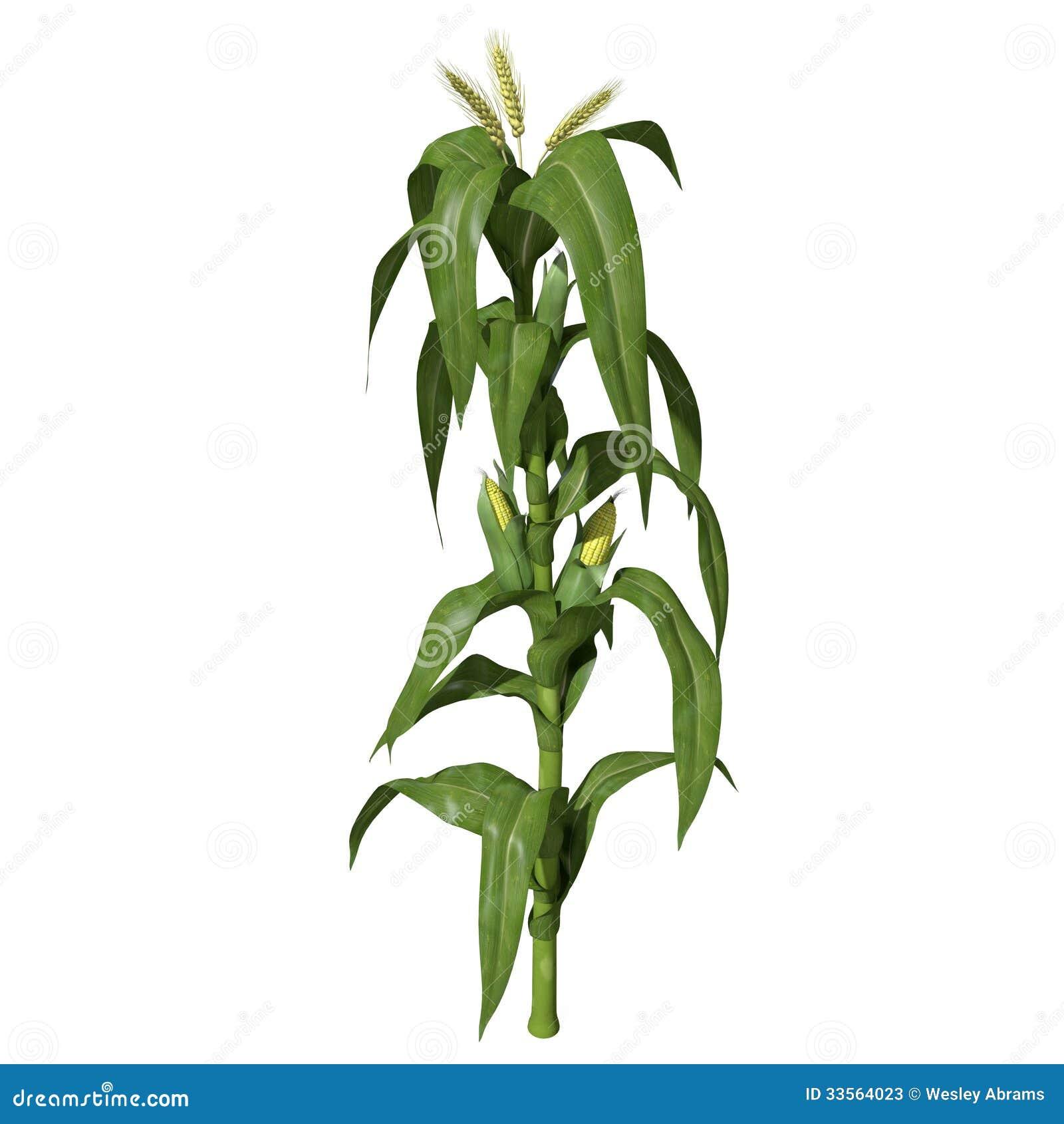 Tige du maïs 3d