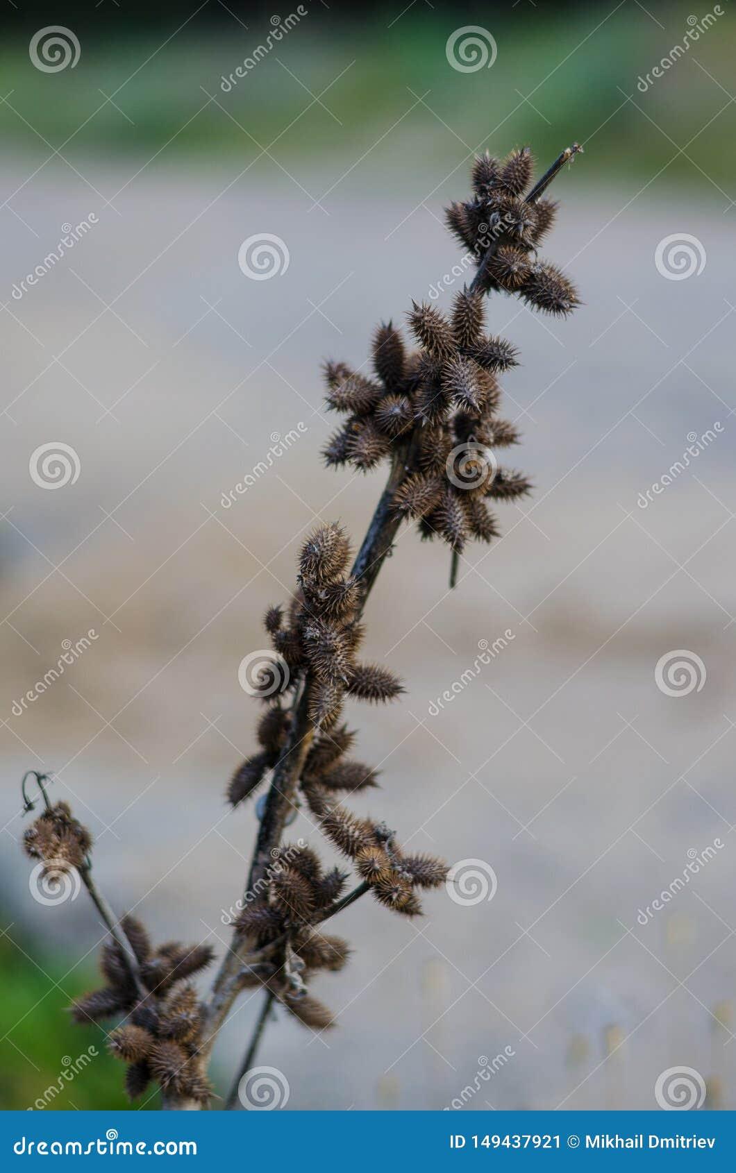 Tige sèche avec les fruits épineux là-dessus Disposition diagonale Fond brouill?