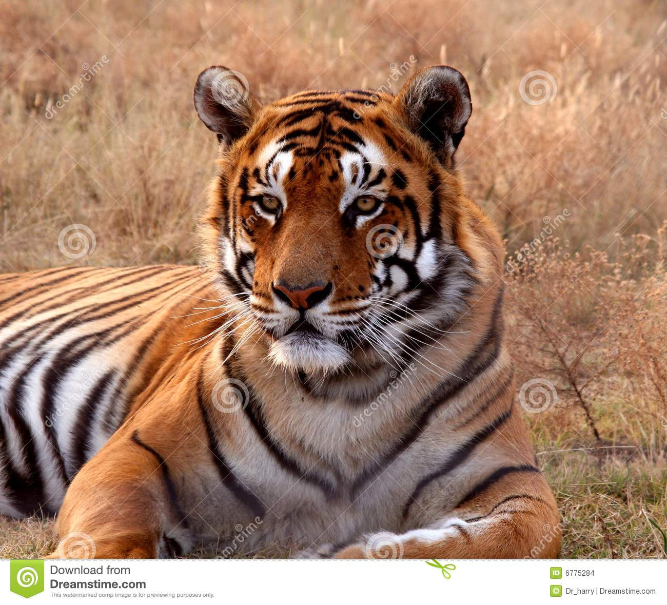 Tiger: Tiger Stock Photo. Image Of Tiger, Lying, Preserve