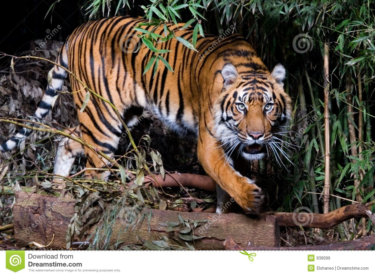 Tiger Royalty Free Stock Images Image 939099