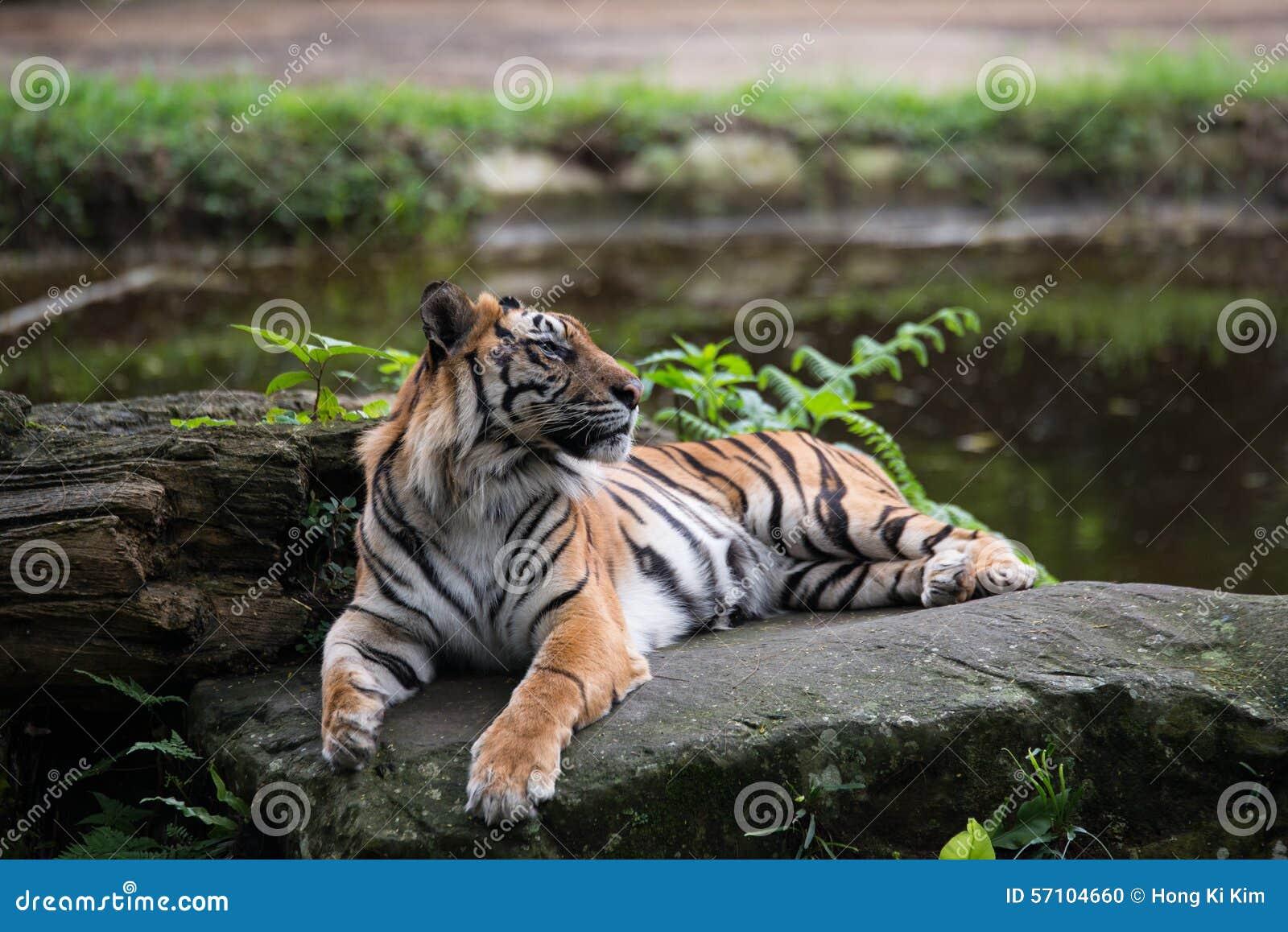 Tiger auf Felsen